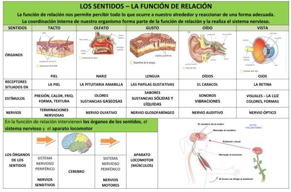 Los sentidos. Función de relación. El sistema nervioso. |
