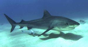 Tiburon 02
