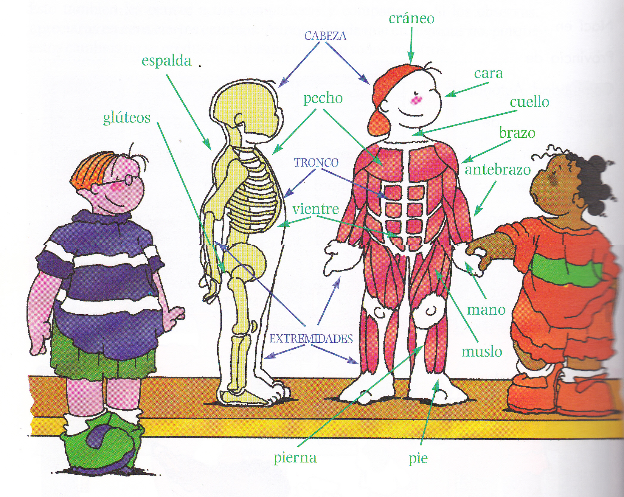 El cuerpo humano | Pasión por la Educación Física