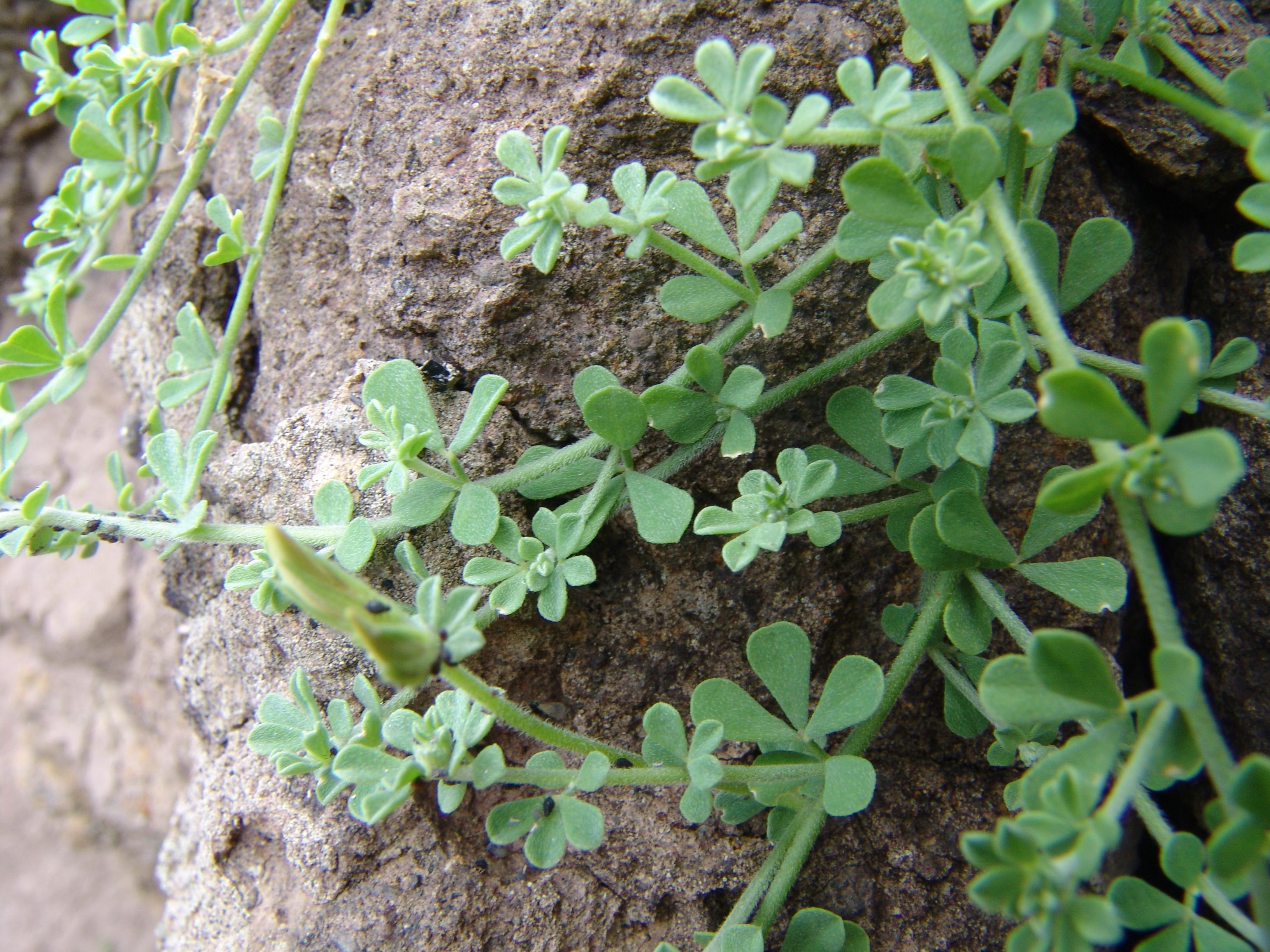 bailaderoroque-enmedio-108-lotus-2-hojas.jpg