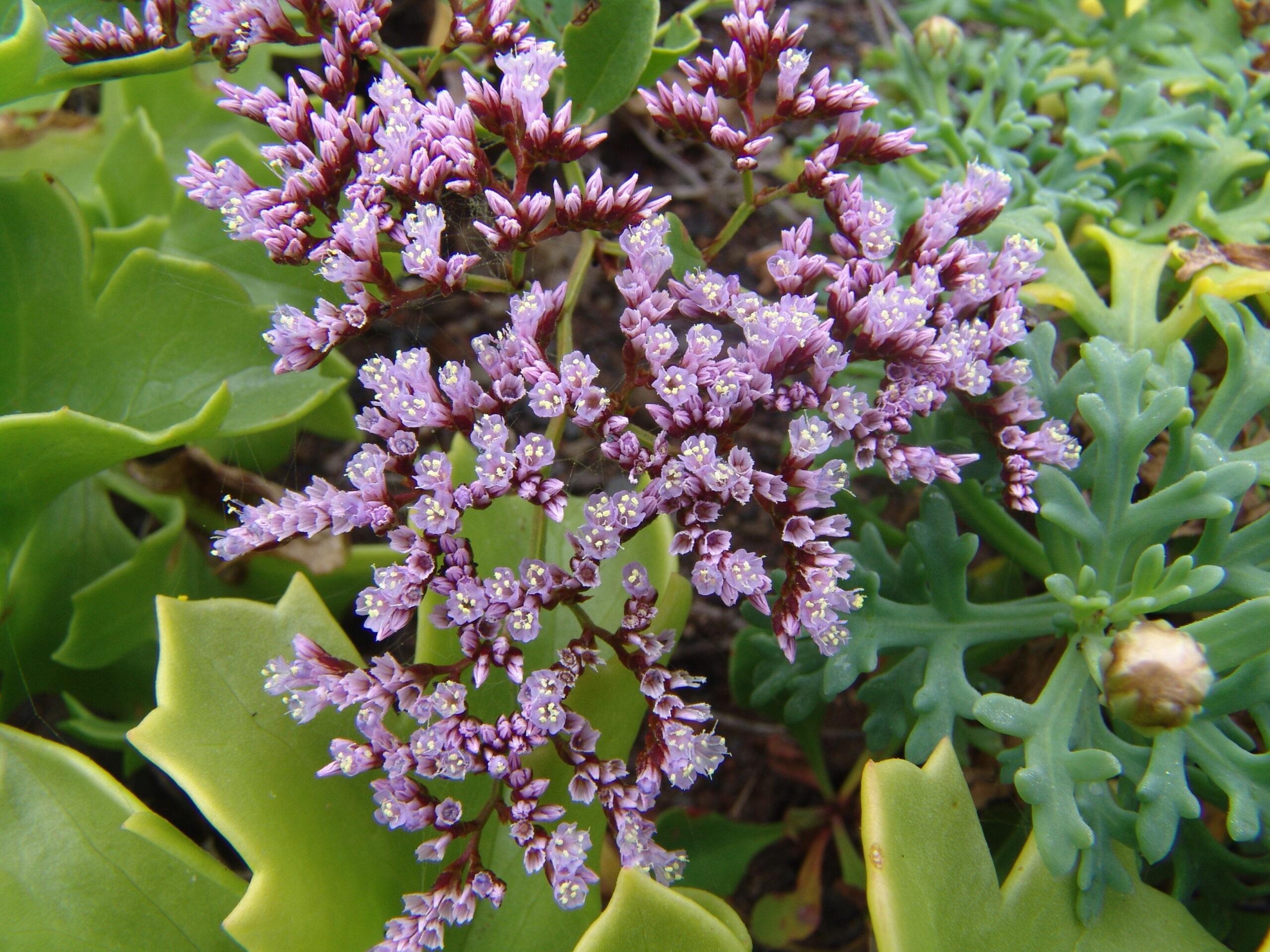 bcoafurfebrero-flores-1-099-limonium-pectinatum-2-scaled.jpg