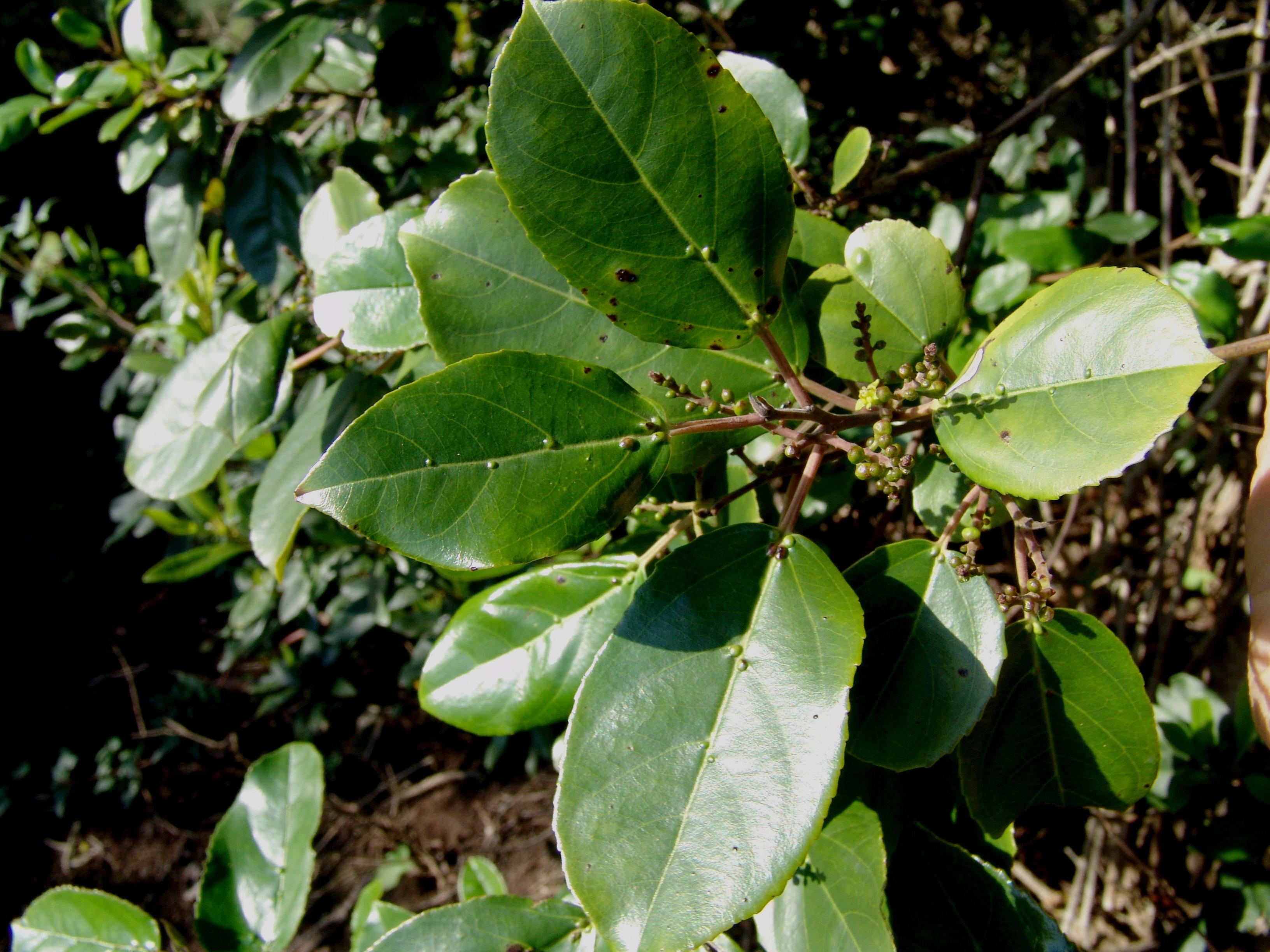chamorgatafada1-022-rhamnus-glandulosa.jpg