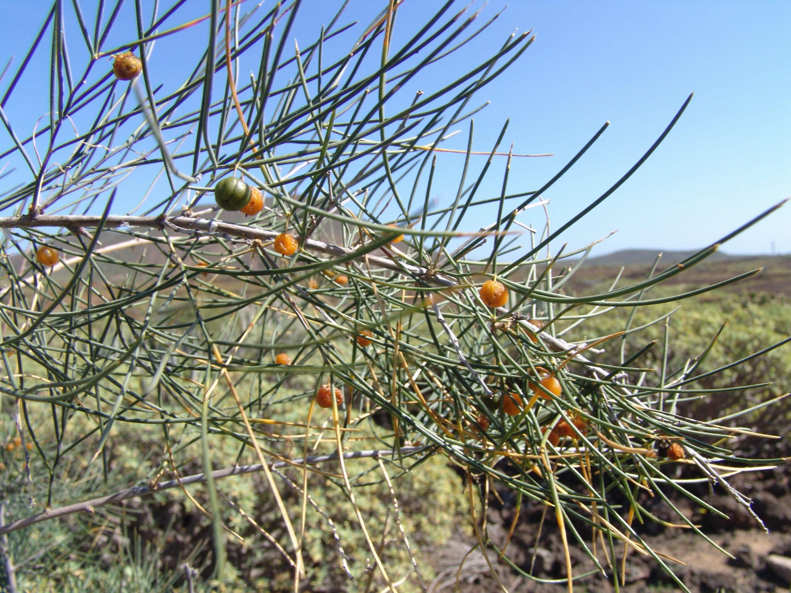 dsc00289-frutos-asparagus-arborescens-la-rasca-2-scaled.jpg