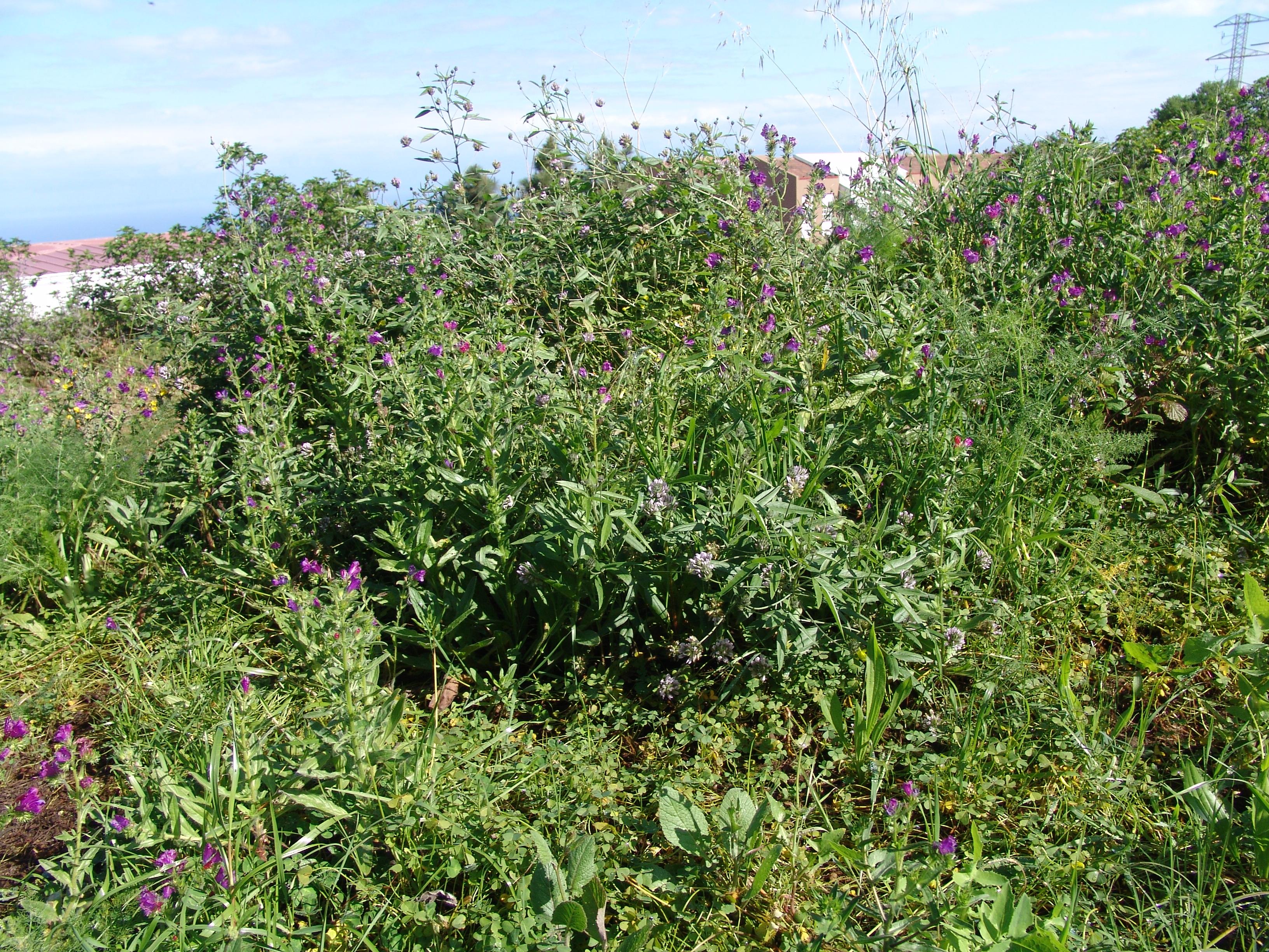 dsc01604-echium-plantagineum-habitat.jpg