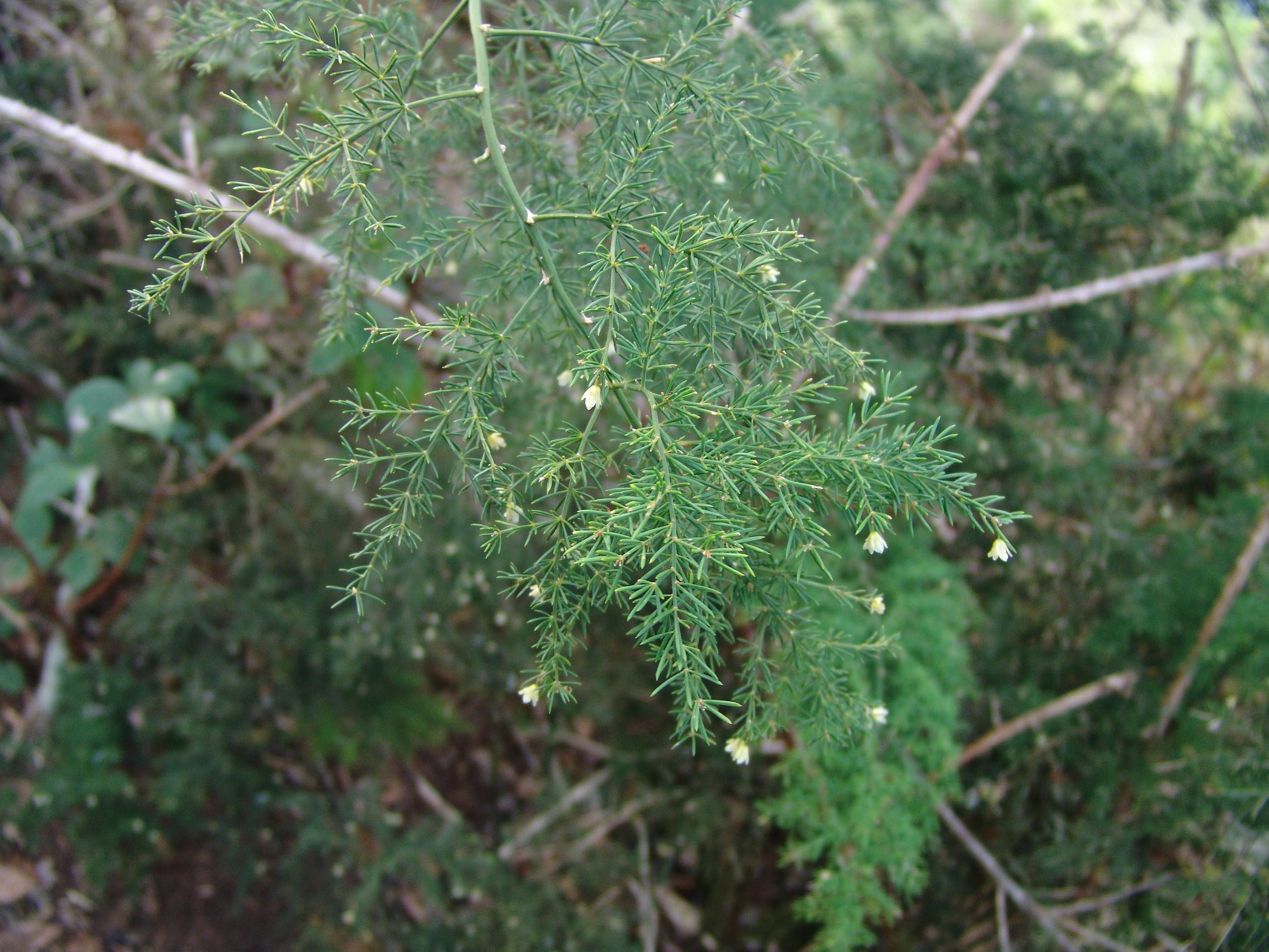 dsc02277-asparagus-fallax-pijaral-hoja.jpg