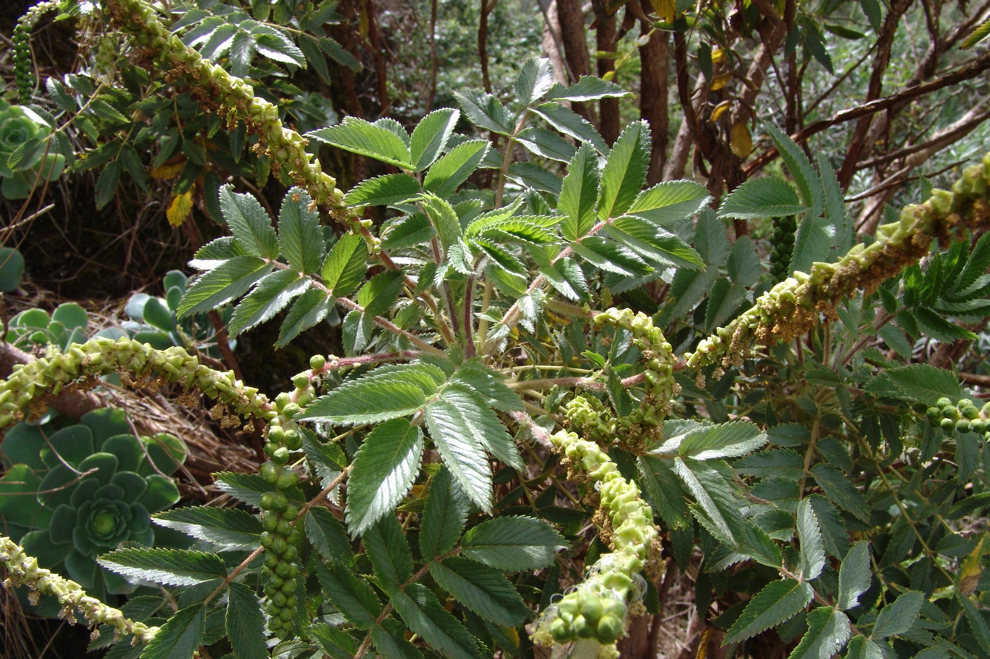 dsc07443-flor-fruto-bencomia-10-2.jpg