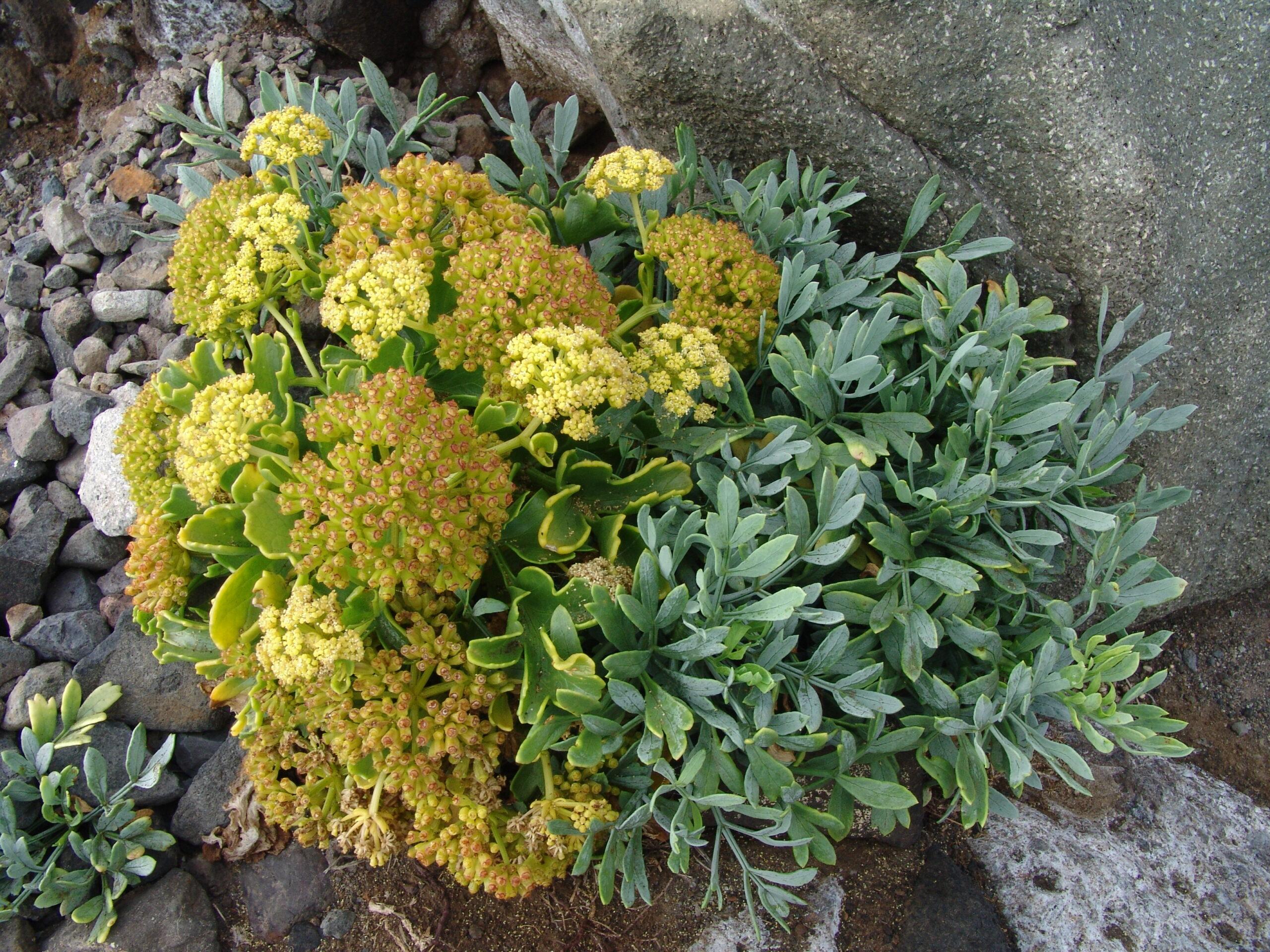 dsc07758-flor-fruto-crithmum-maritimum-6-costa-almaciga-roques-anaga-scaled.jpg