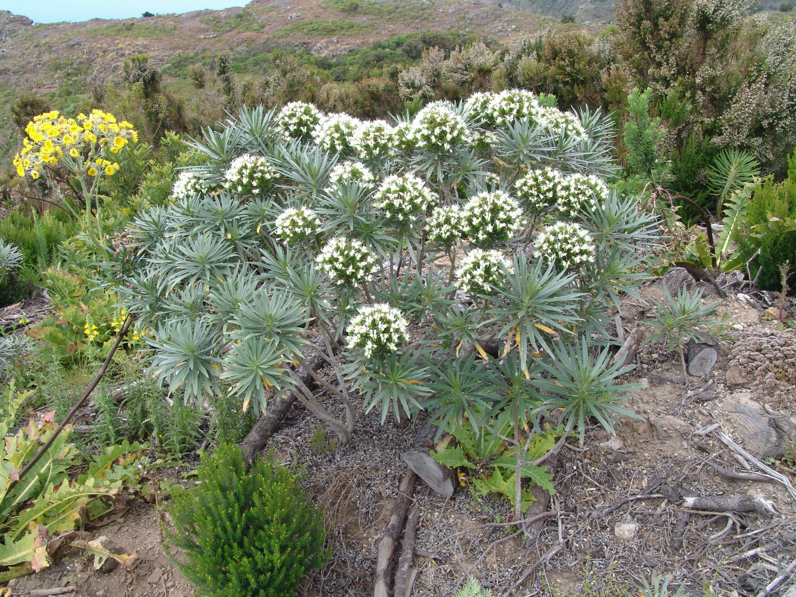 dsc08095-hojas-la-orilla-pista-dornajos-echium-leucophaeum-2-scaled.jpg