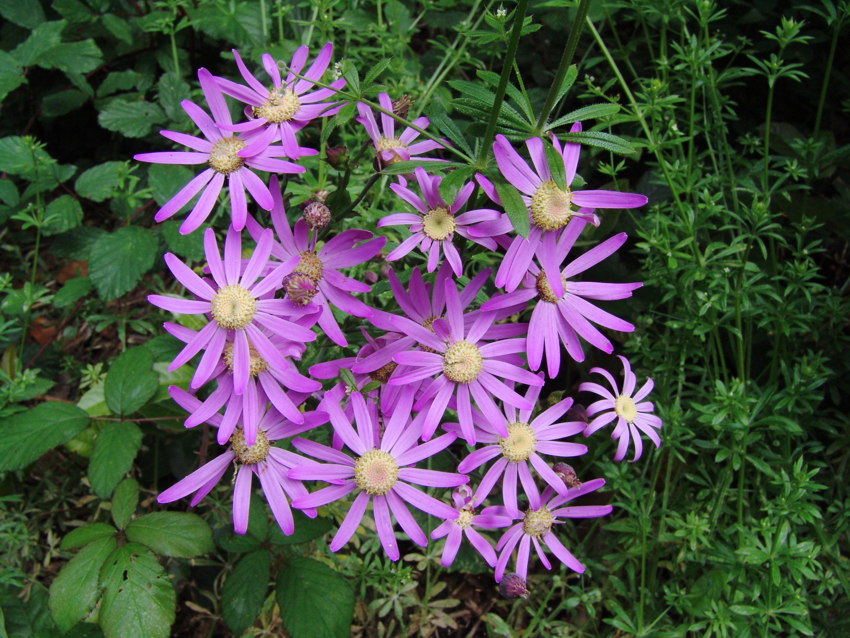 dsc08654-pericallis-tusilaginis-flora-10.jpg