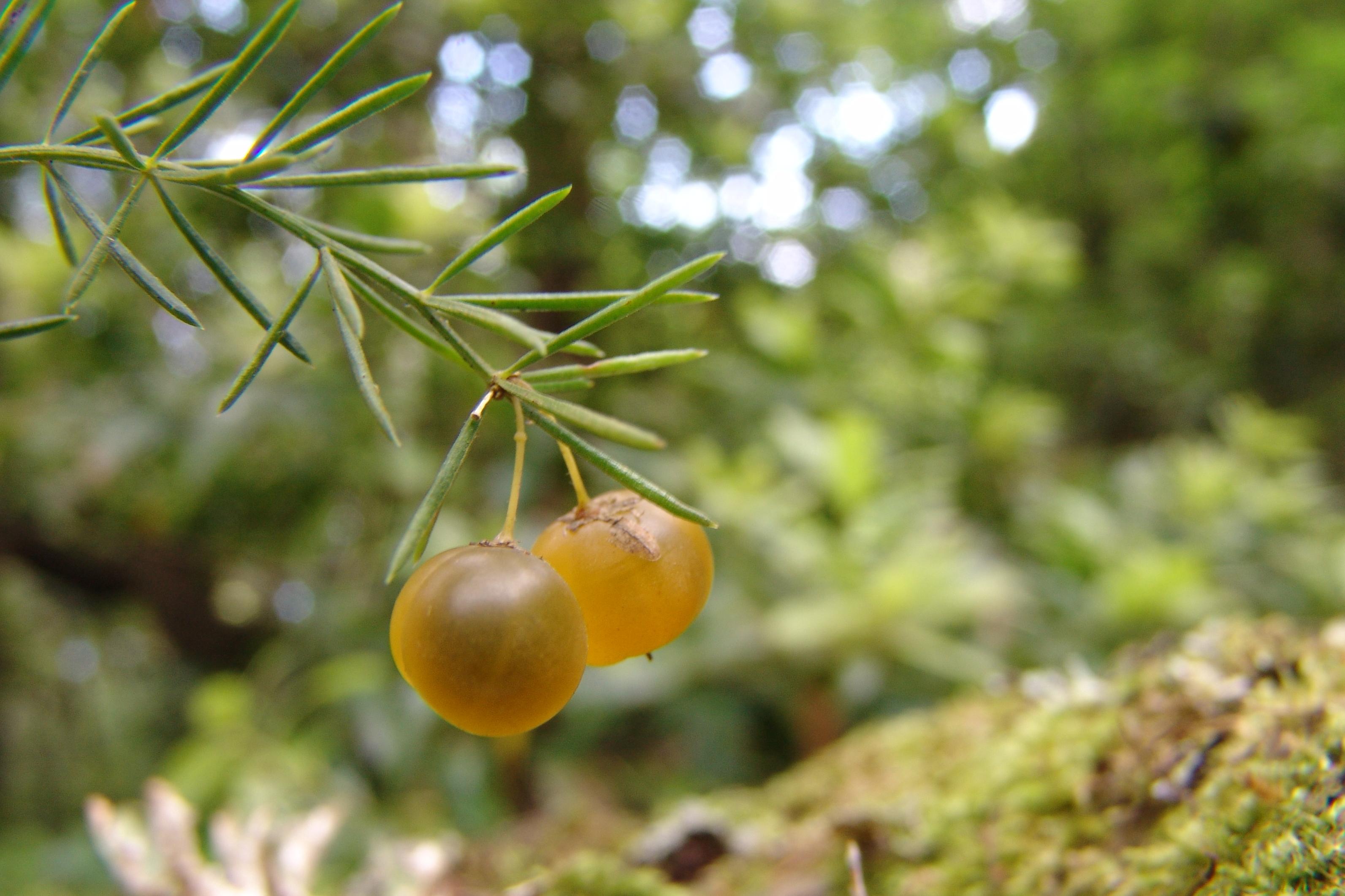 dsc08860-asparagus-fallax-fruto-2.jpg