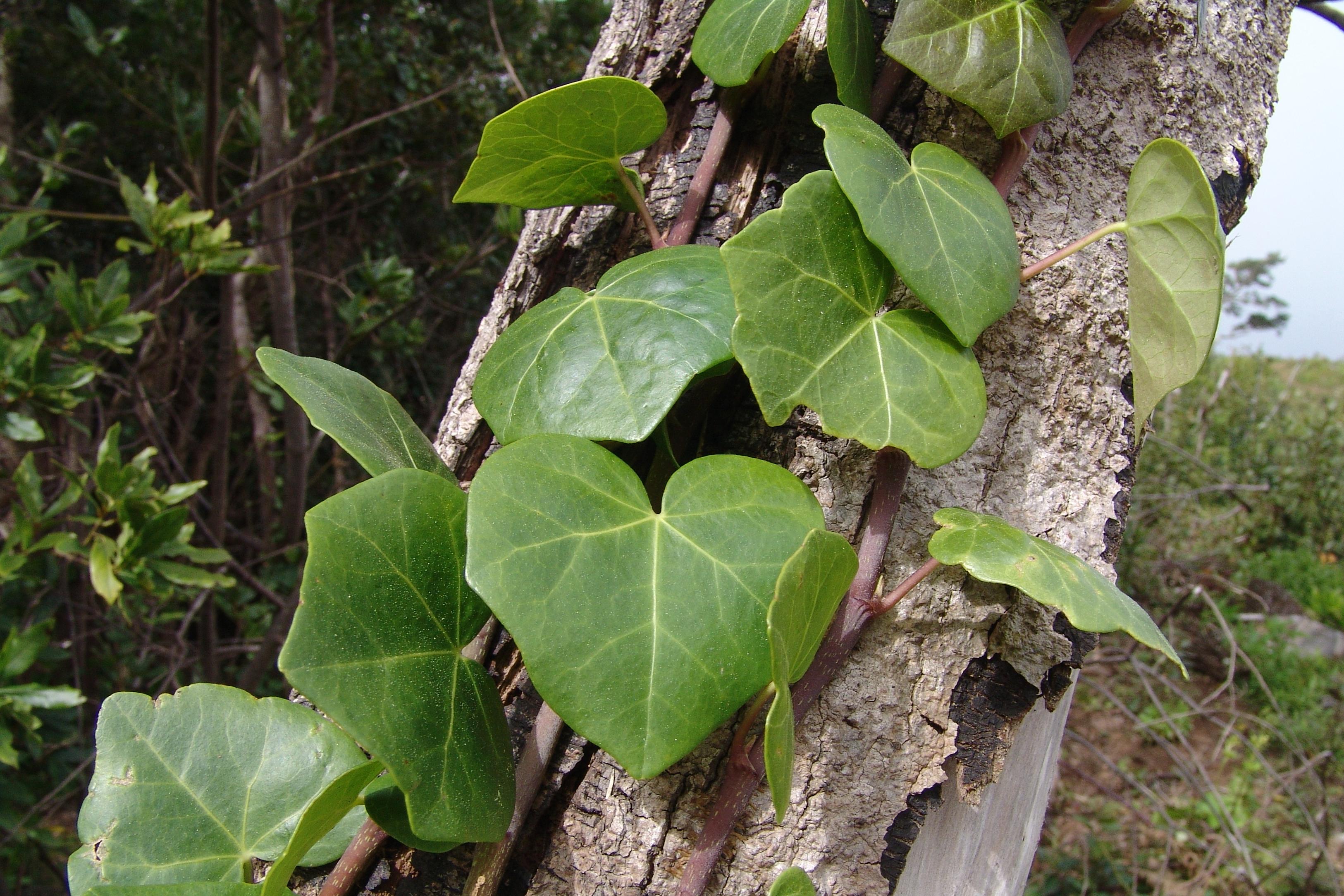 dsc09275-hojas-hedera-a-10.jpg