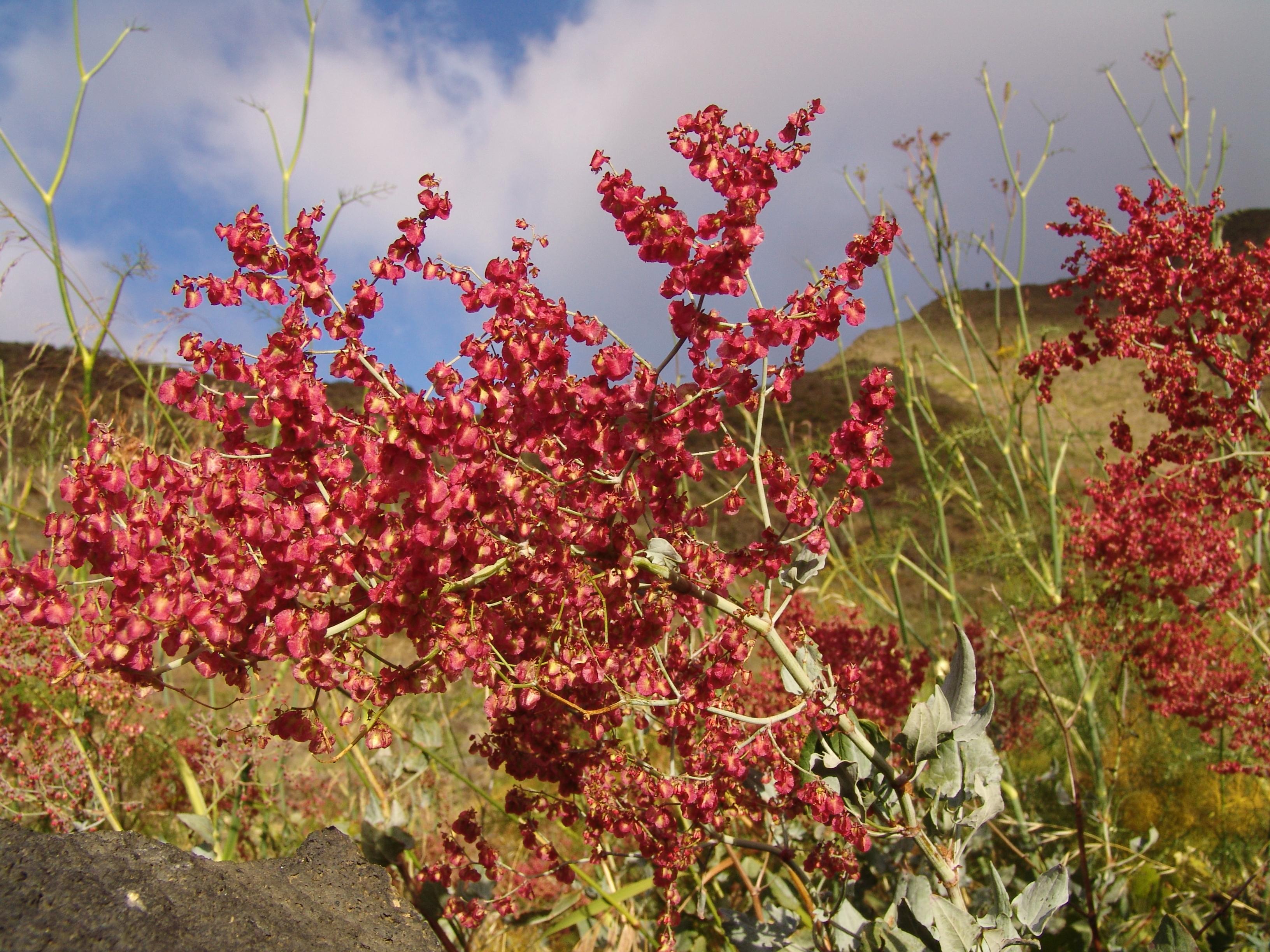 dsc09685-flor-rumex-flora-a-10.jpg