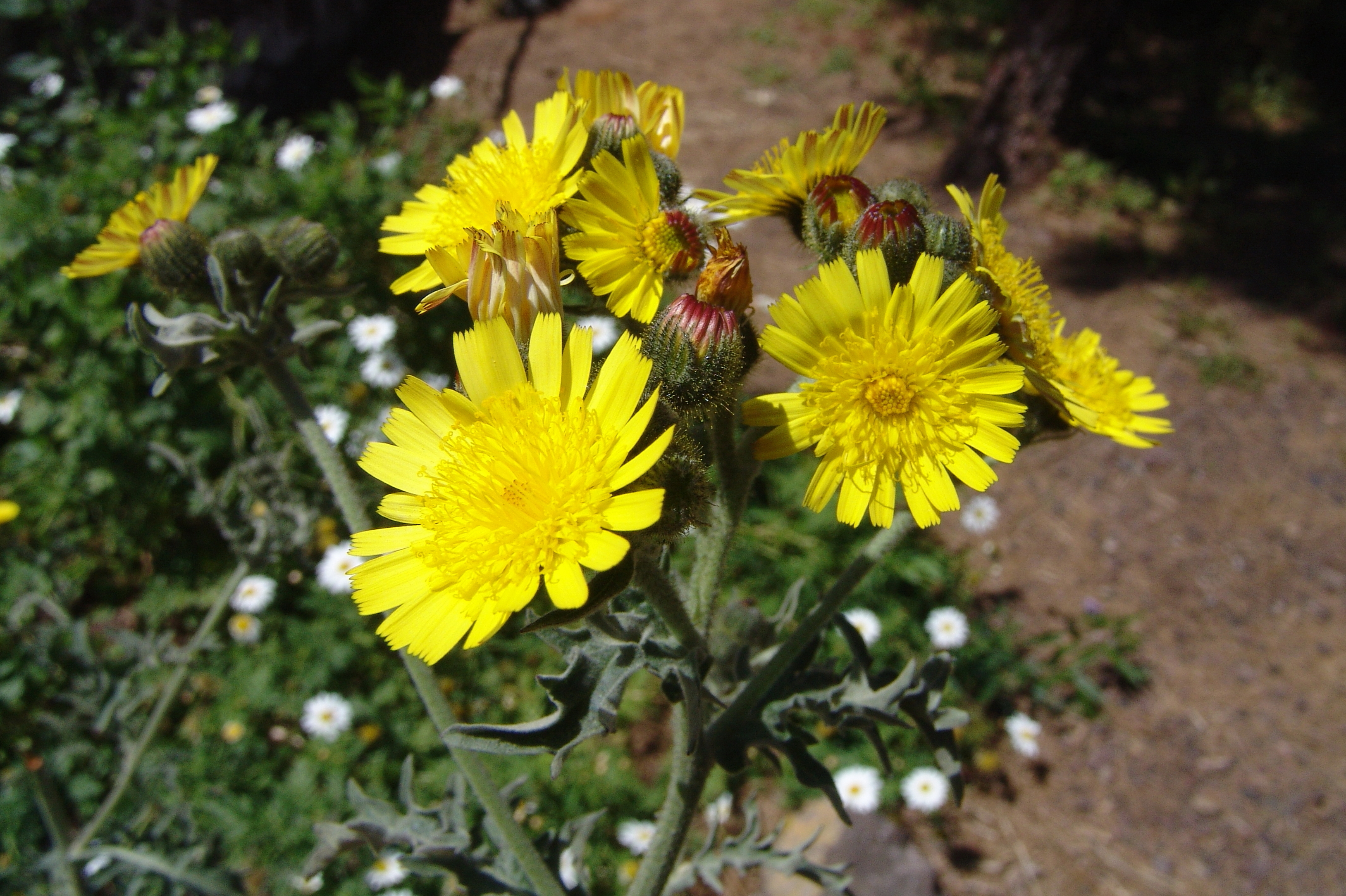 dsc09842-andryala-flor-2-recorte.jpg