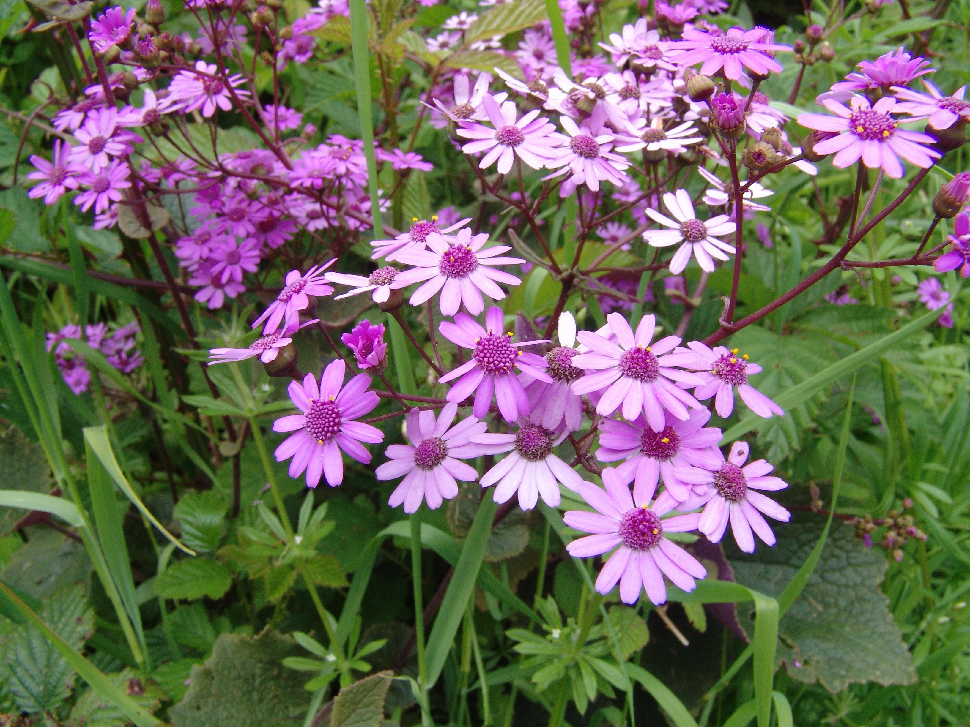 dsc09888-flores-pericallis-cruenta-a-10.jpg
