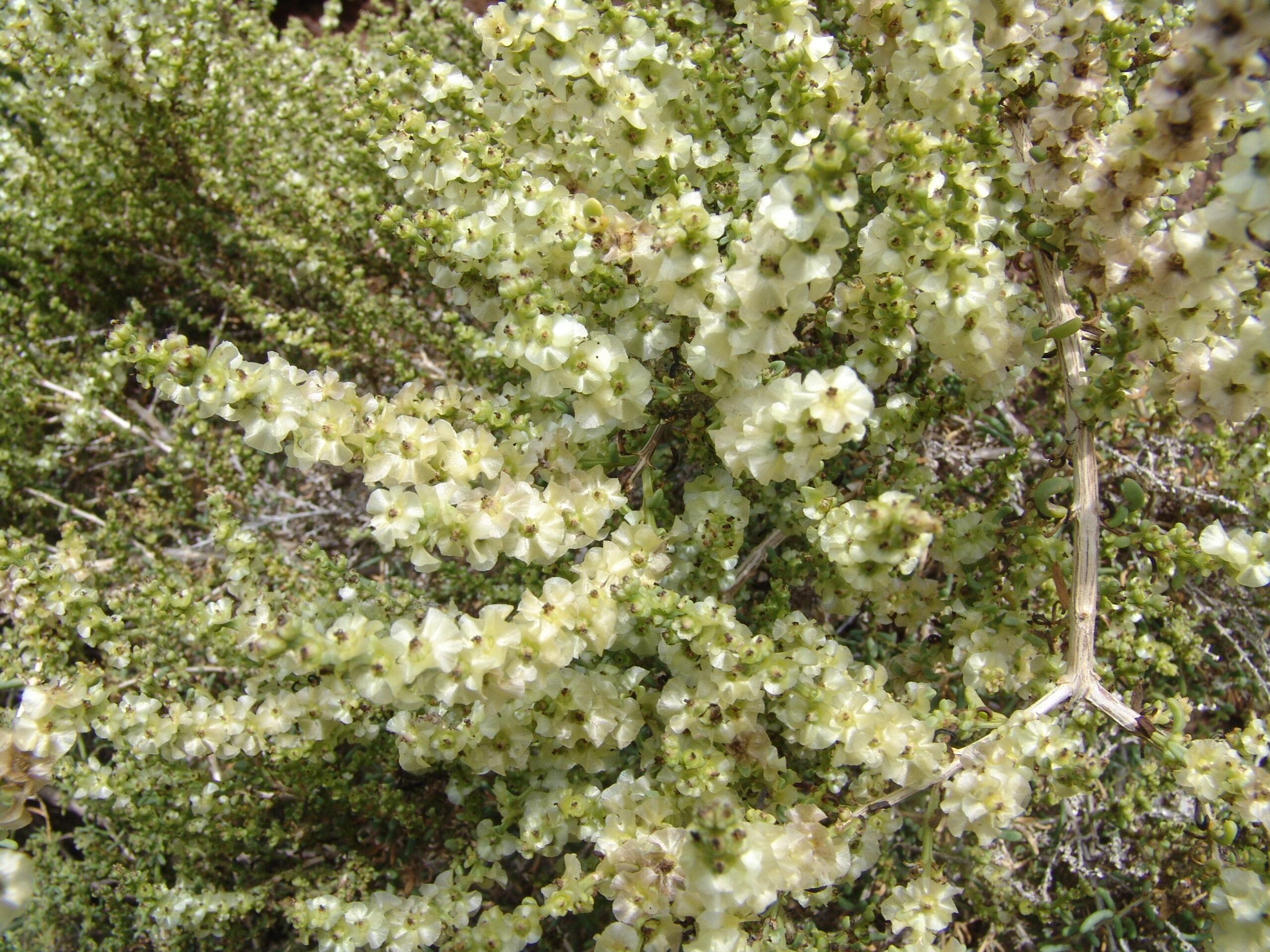 dsc09944-flores-salsola-bco-infierno-scaled.jpg