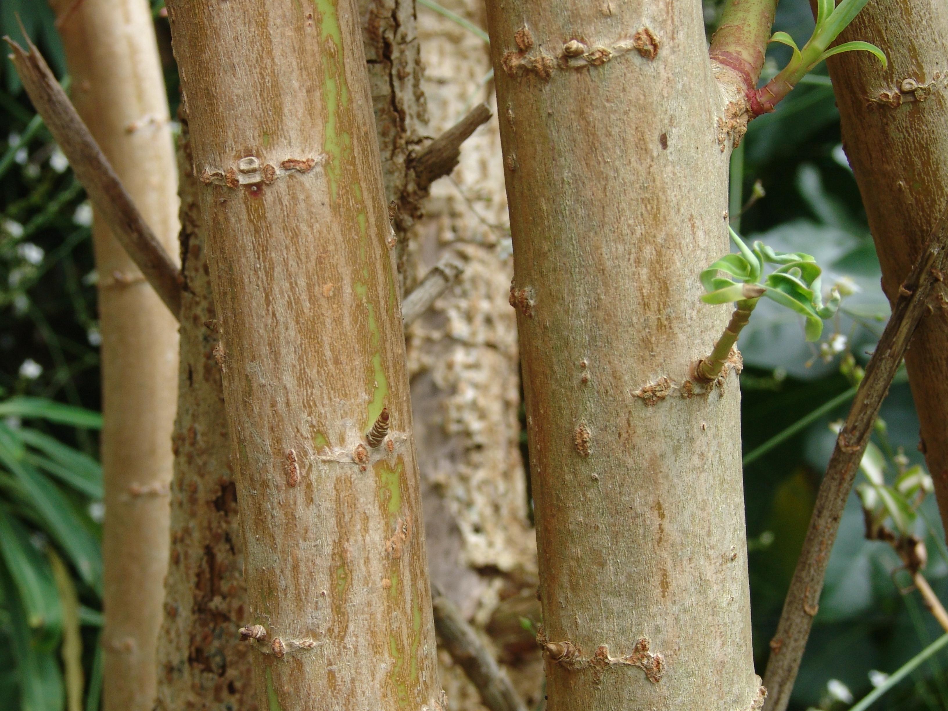 euphorbiamelliferatacoronte-089.jpg