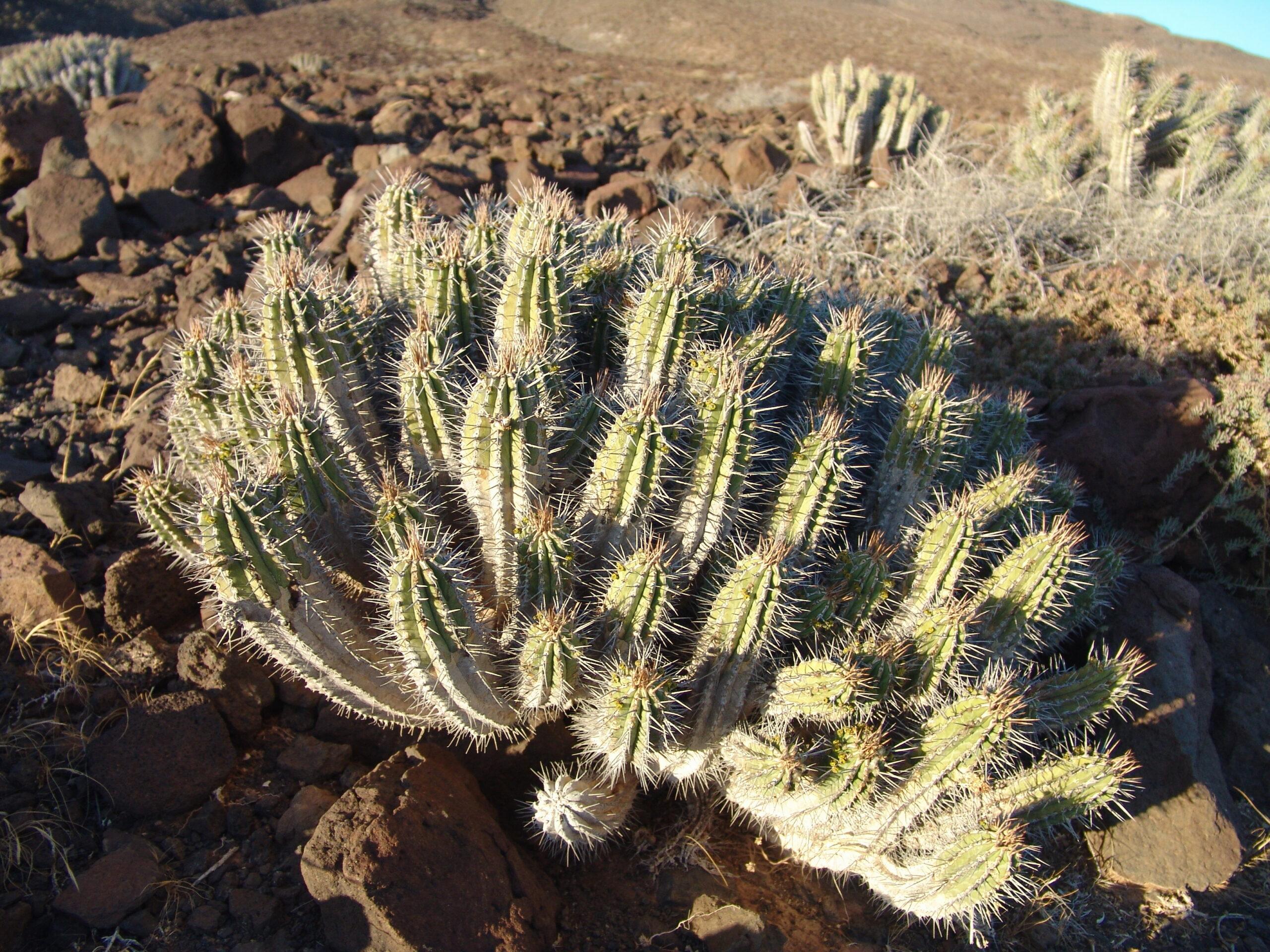 fv-cofetecardon-tallos-no-hay-hojas062-euphorbia-handiensis-2-scaled.jpg