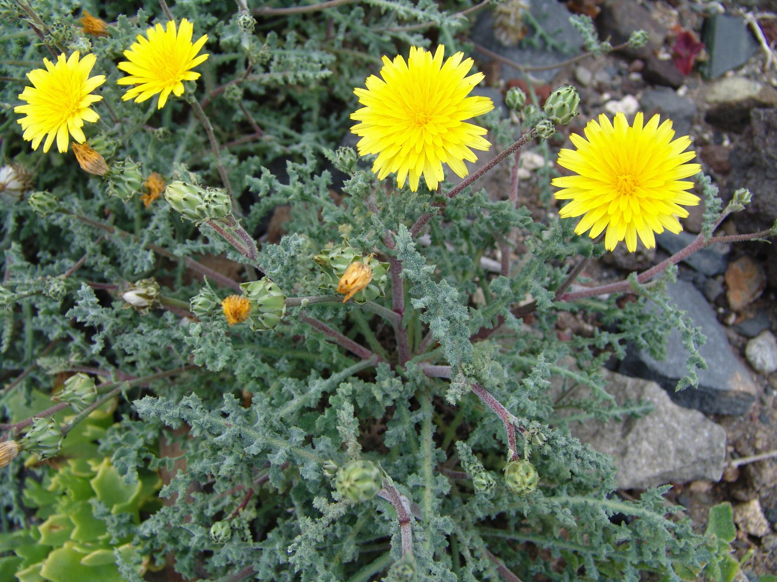 guimarporis1-015-descripcion-reichardia-crystallina-2-scaled.jpg