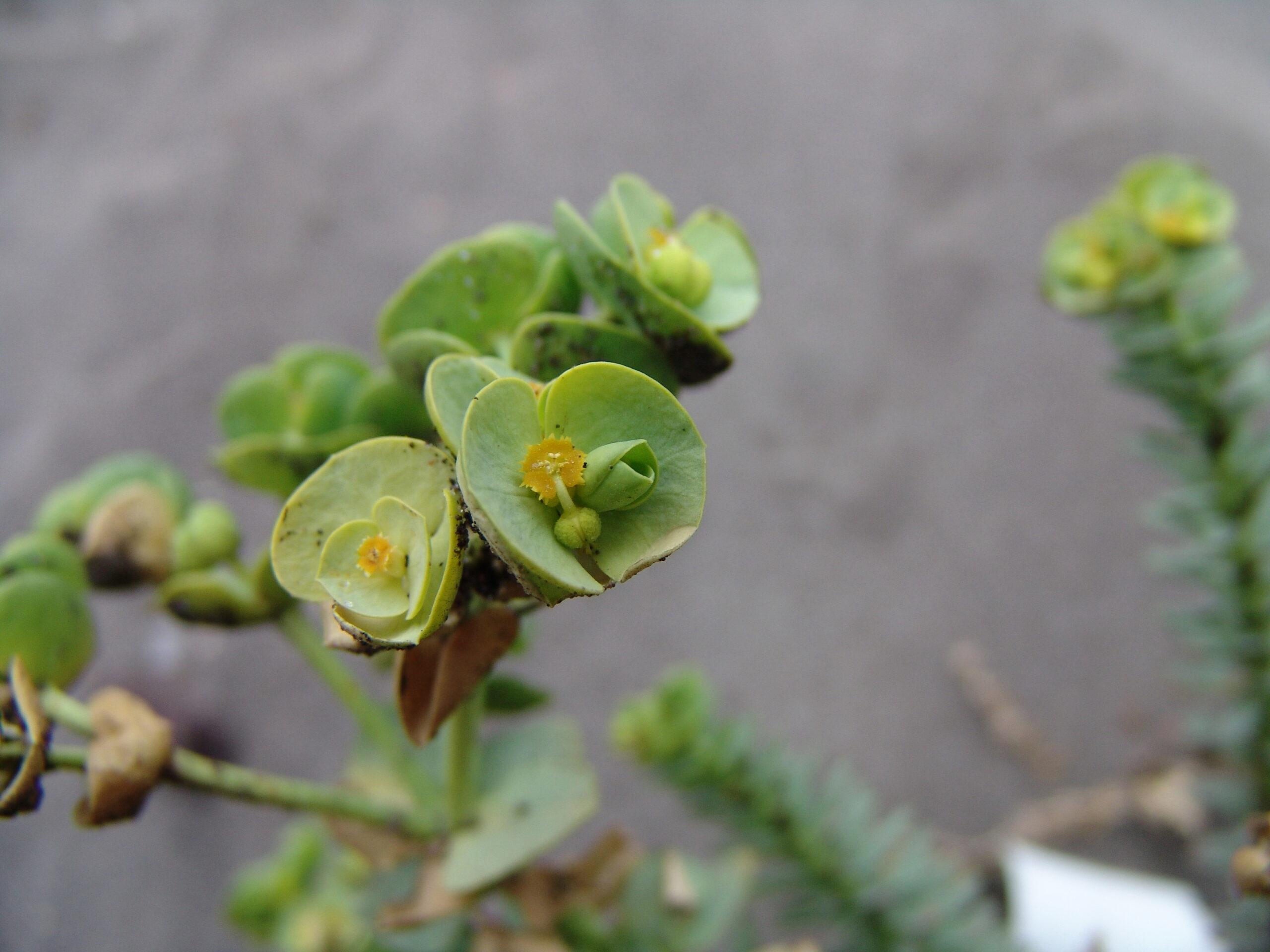 guimarporis1-019-euphorbia-paralias-4-flor-scaled.jpg