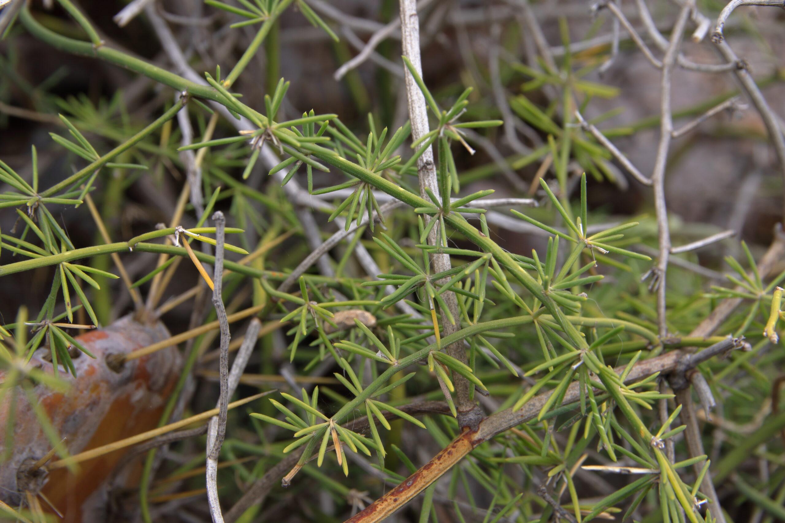 img_0269-hojas-punta-chinamadaasparagus-umbellatus-subsp-umbellatus-scaled.jpg