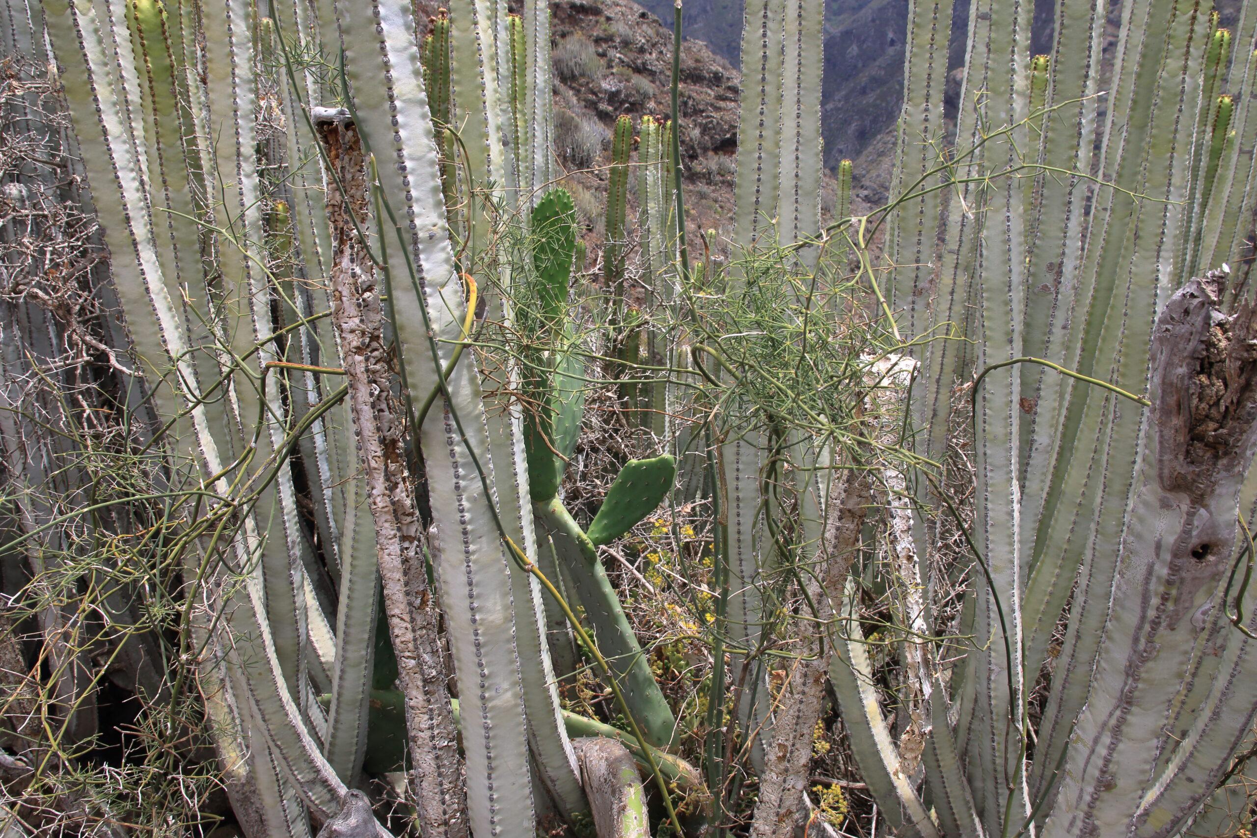 img_0418-2habitat-punta-chinamadaasparagus-umbellatus-subsp-scaled.jpg