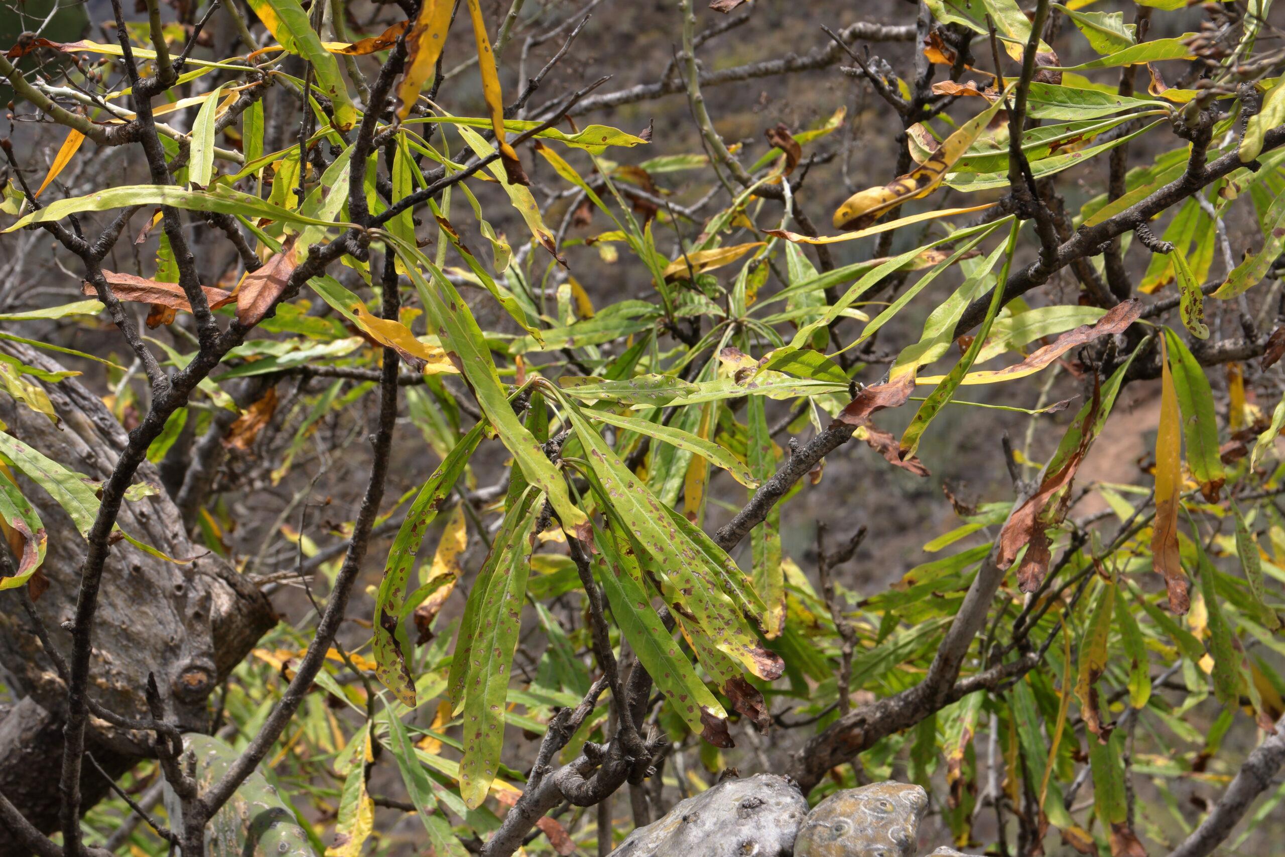 img_0419-convolvulus-floridus-hojas-2-scaled.jpg