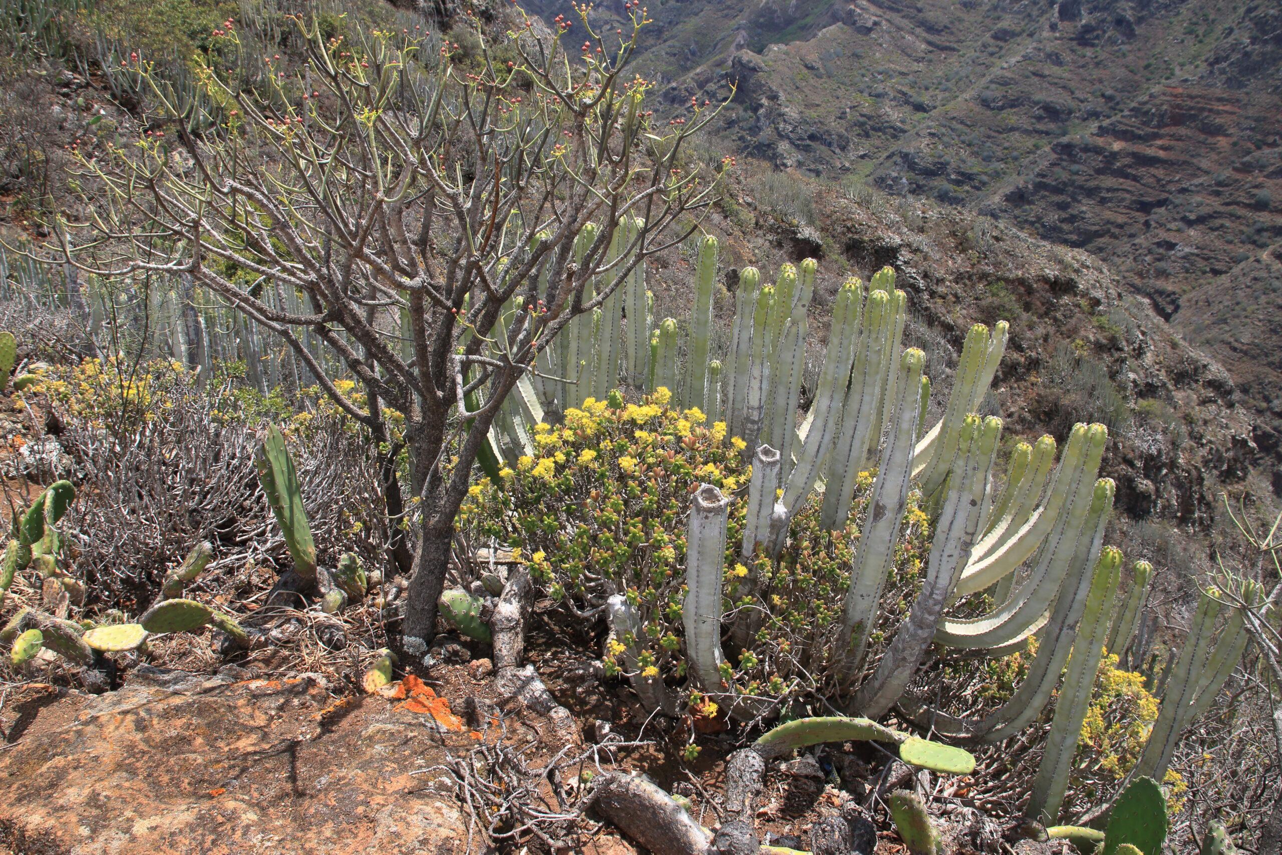 img_0425-habitat-vegetacion-de-cardonal-tabaibal-scaled.jpg