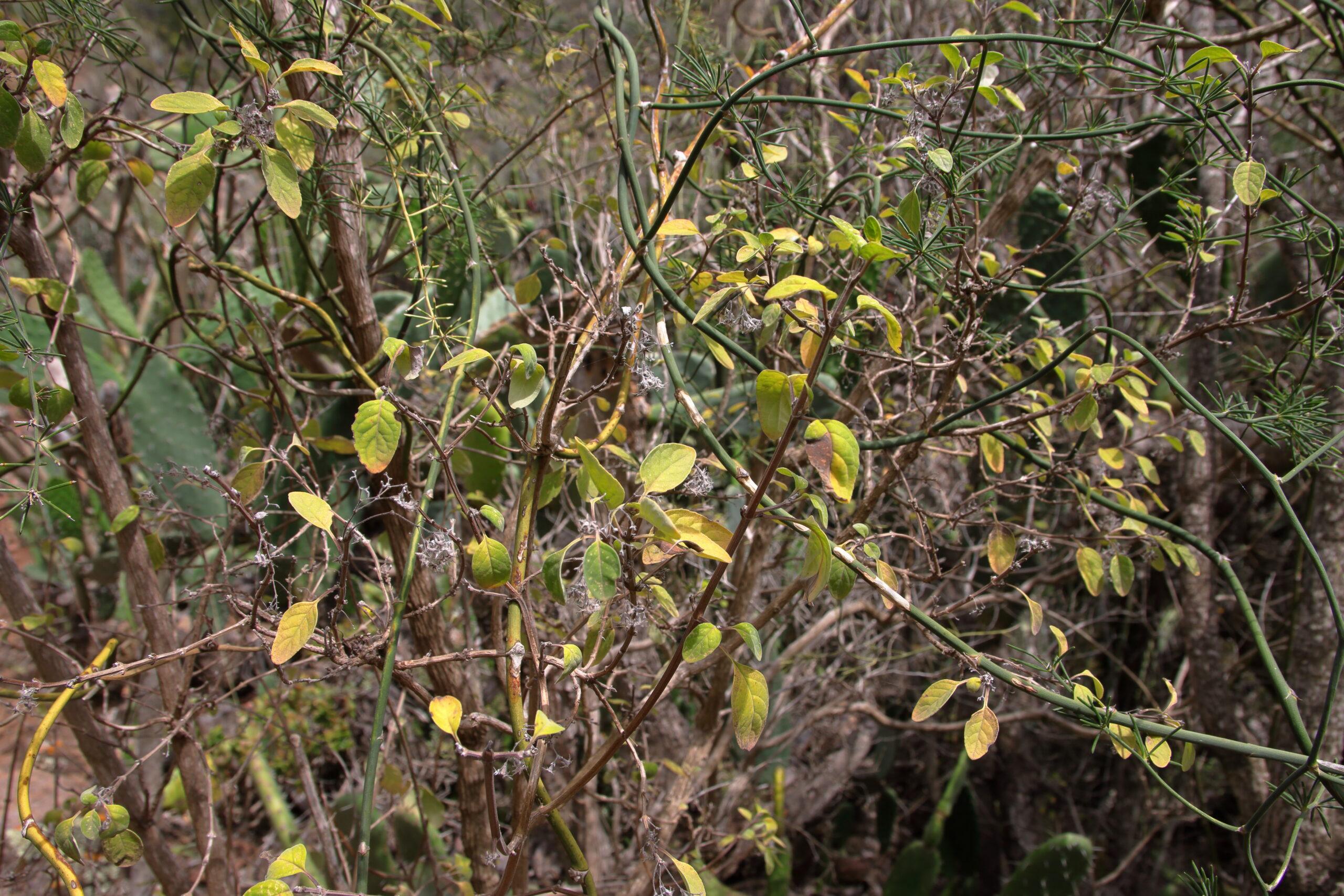 img_0469-hojas-en-verano-poleo-de-cardonal-bystropogon-odoratissimus-detalle-hojas-scaled.jpg