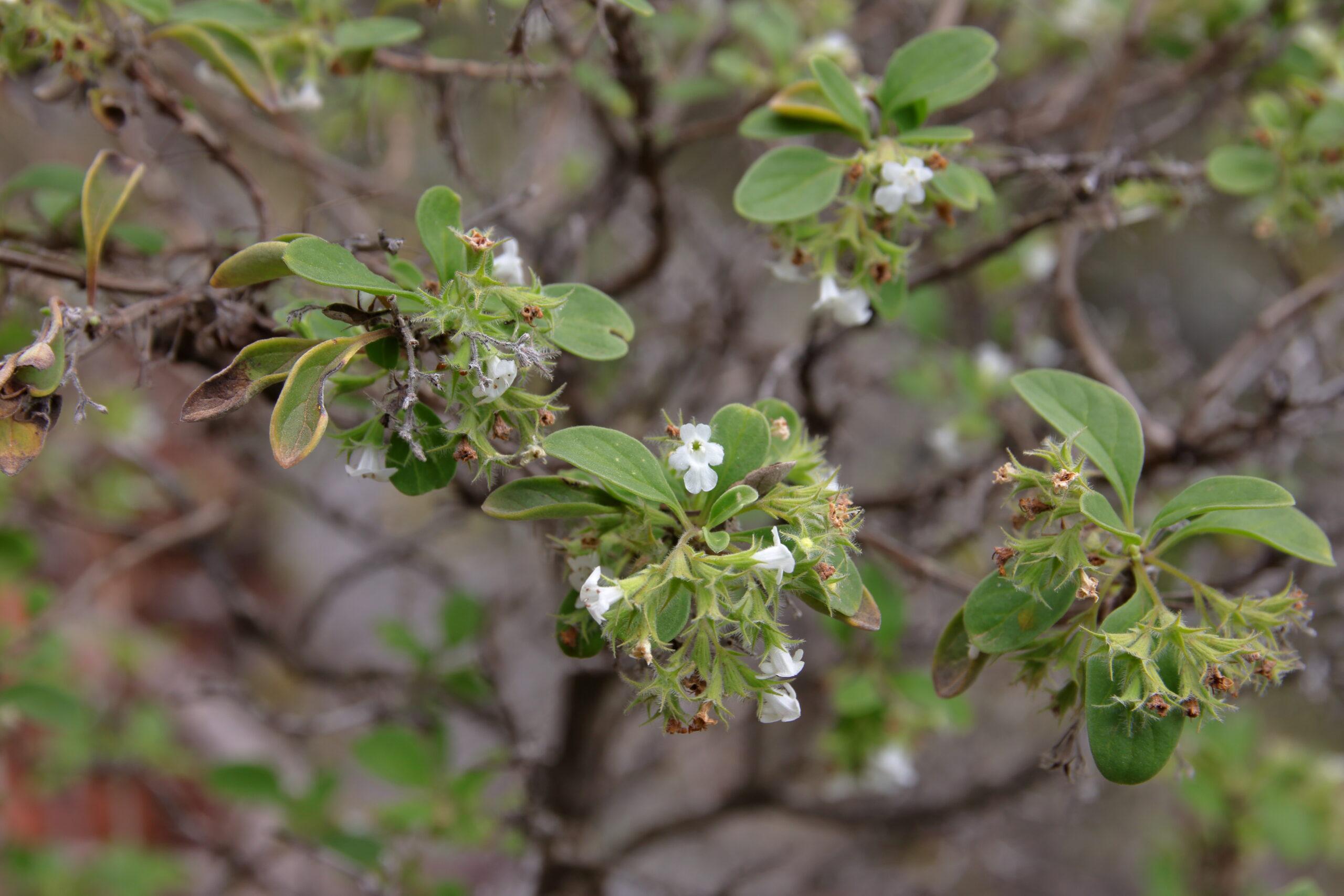 img_0500-flores-poleo-de-cardonal-scaled.jpg