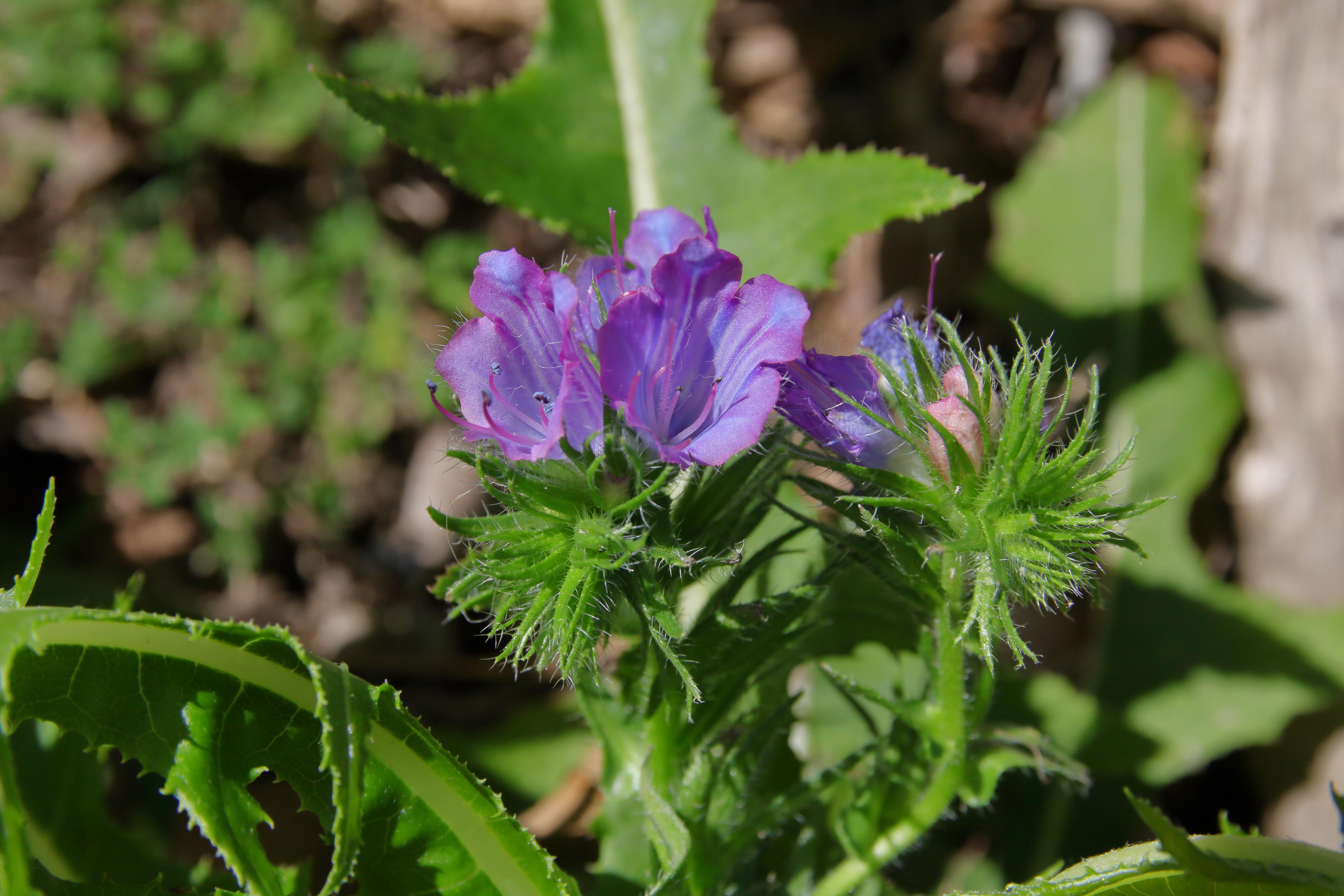 img_0641-echium-plantagineum-flor.jpg