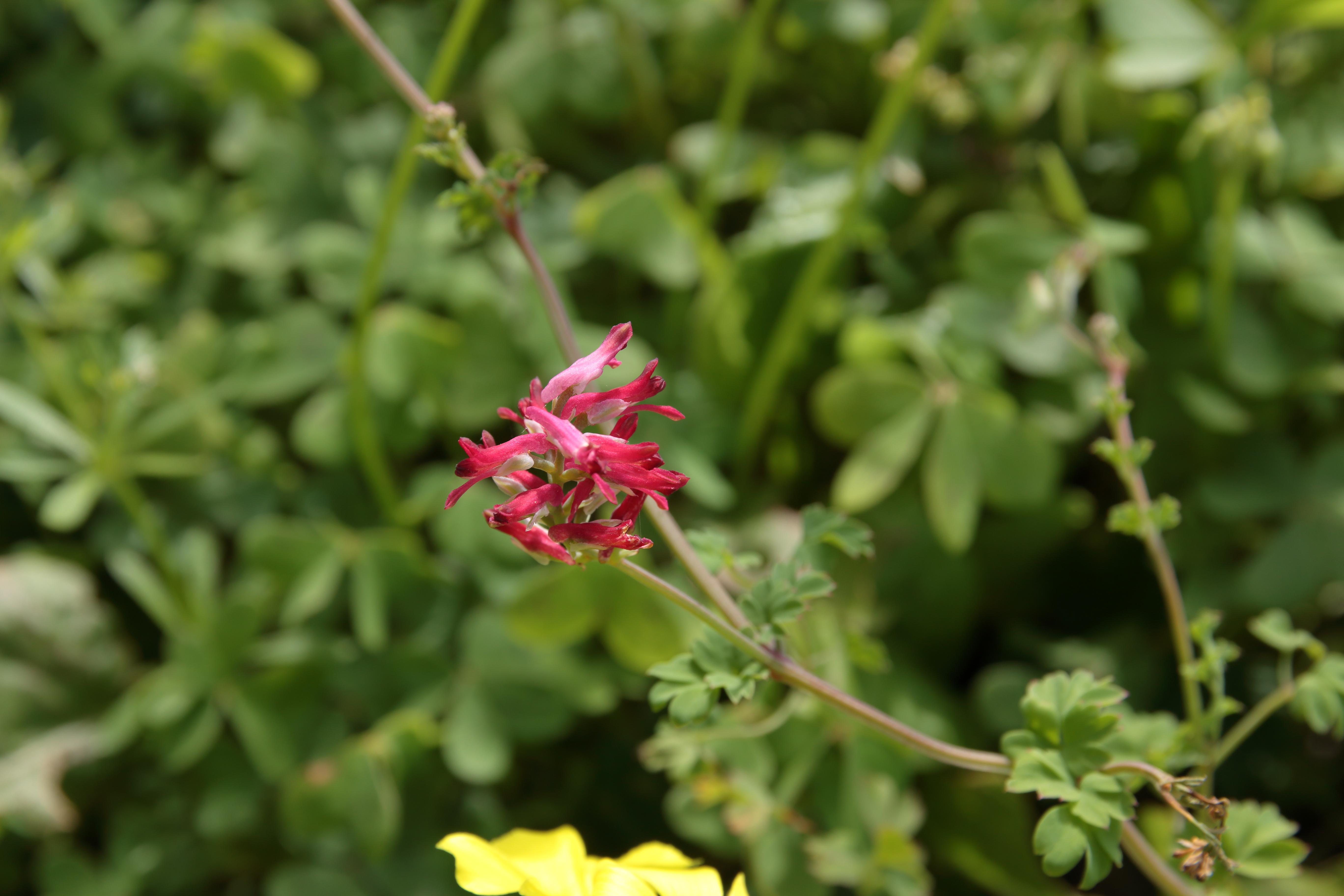 img_5593-fumaria-coccinea-10-flor.jpg