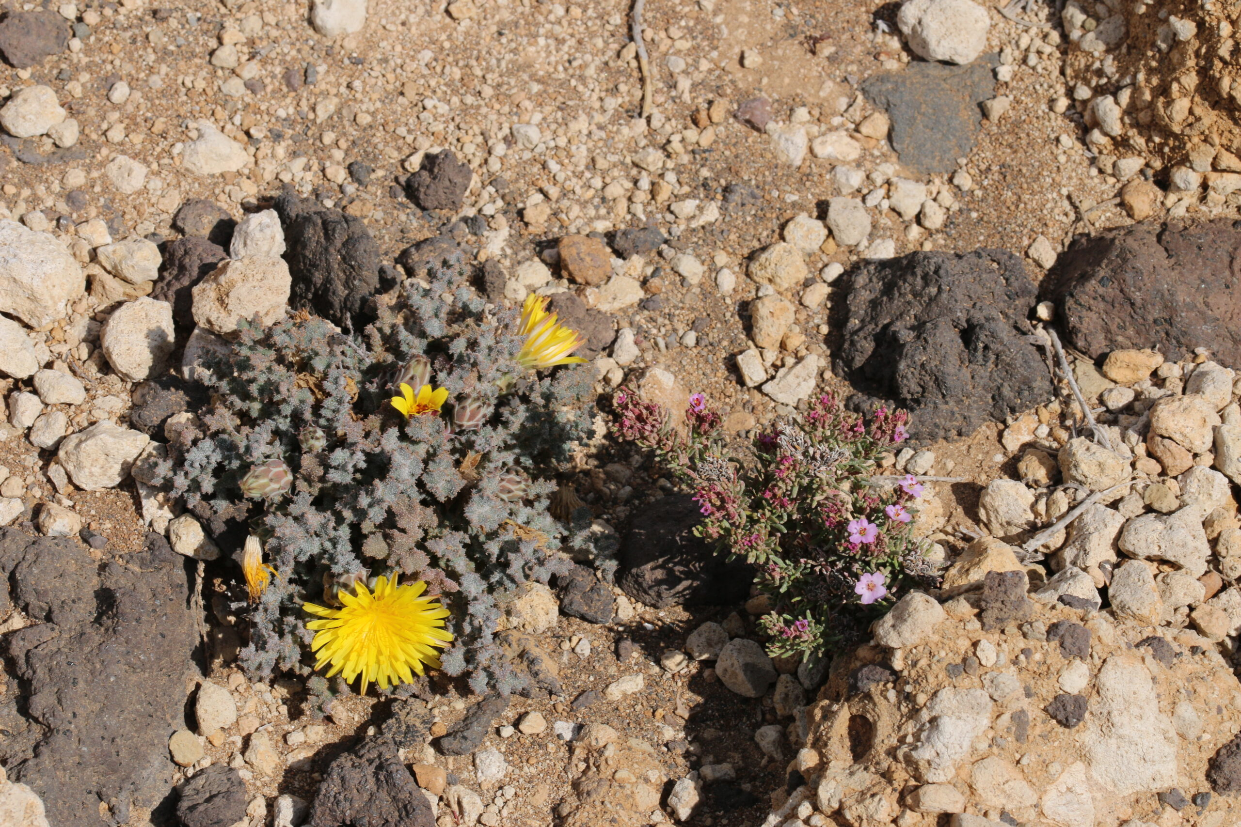img_5934-habitat-materiales-pumiticos-reichardia-crystallina-scaled.jpg