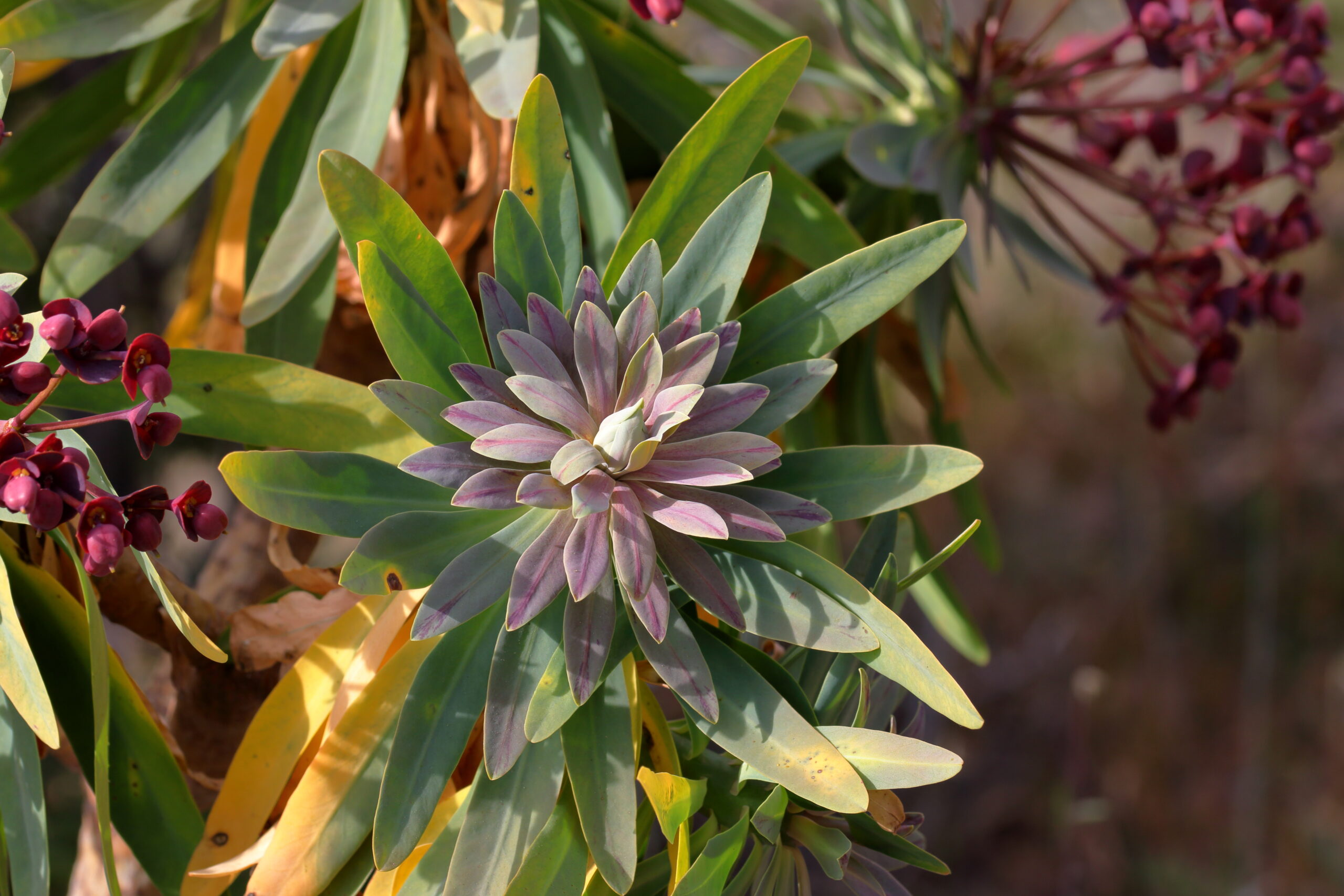 img_6213-hojas-arguayo-roseta-de-hojas-de-tabaiba-majorera-scaled.jpg