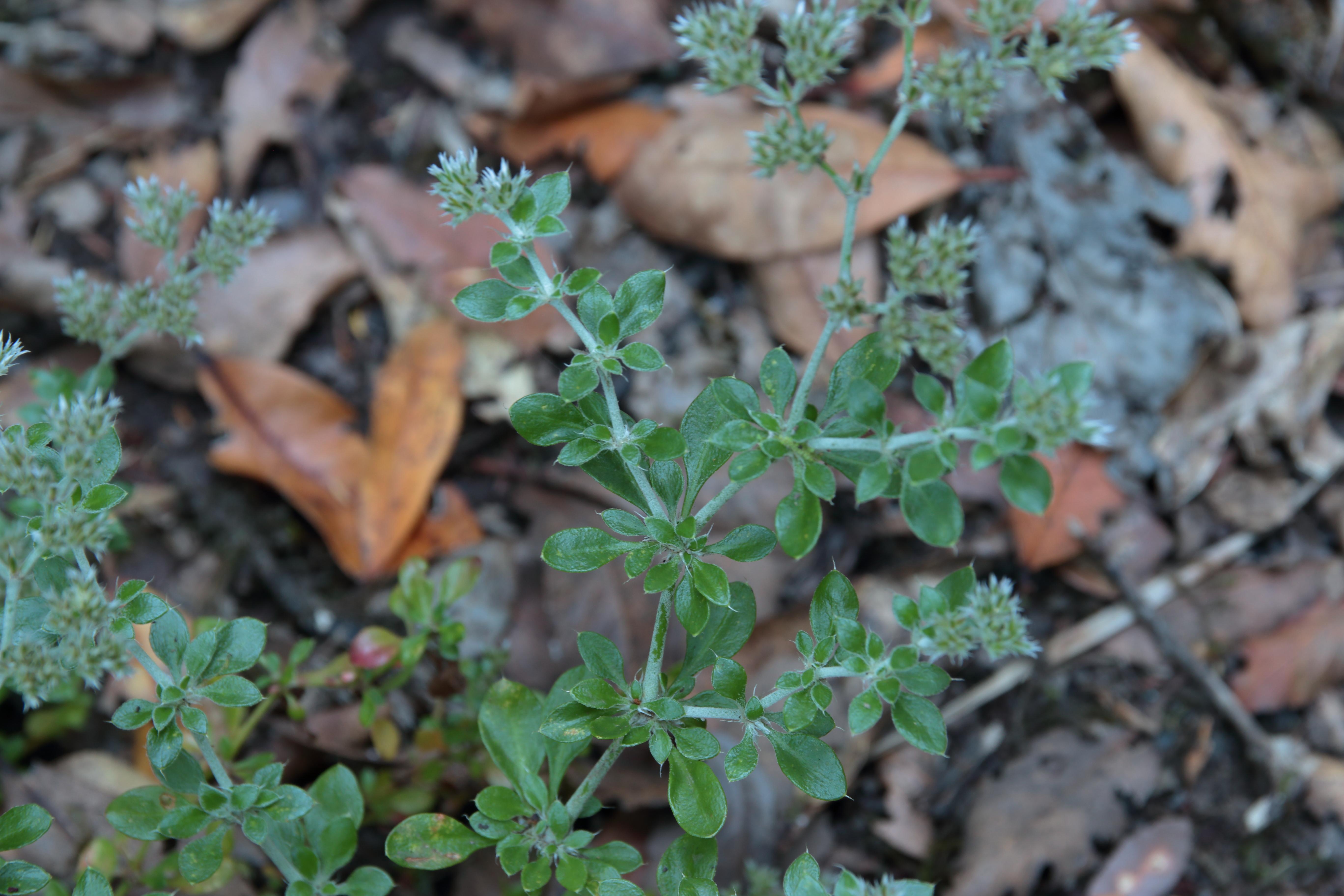img_6786-polycarpaea-latifolia-hojas.jpg