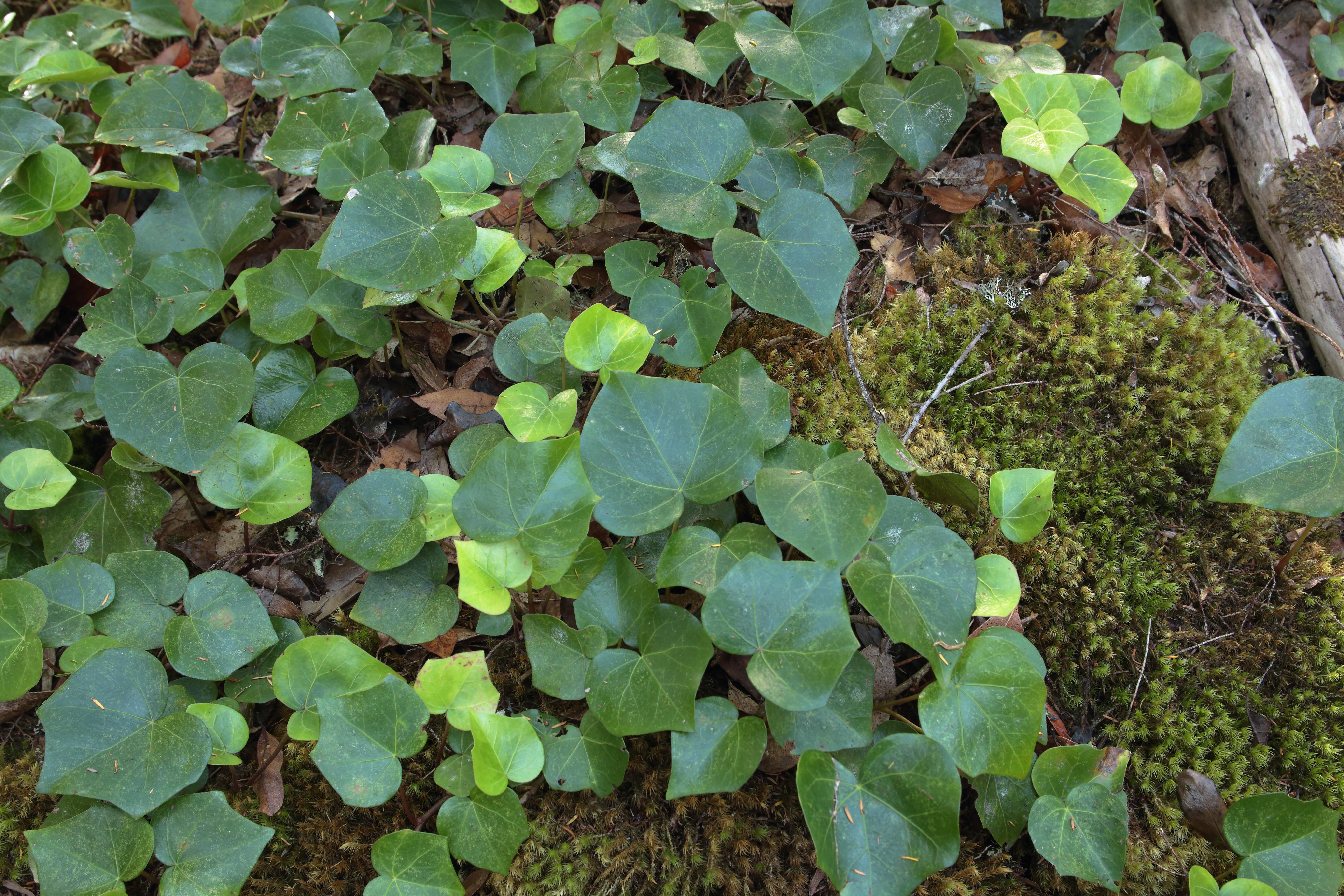 img_6854-hedera-hojas-a-10.jpg