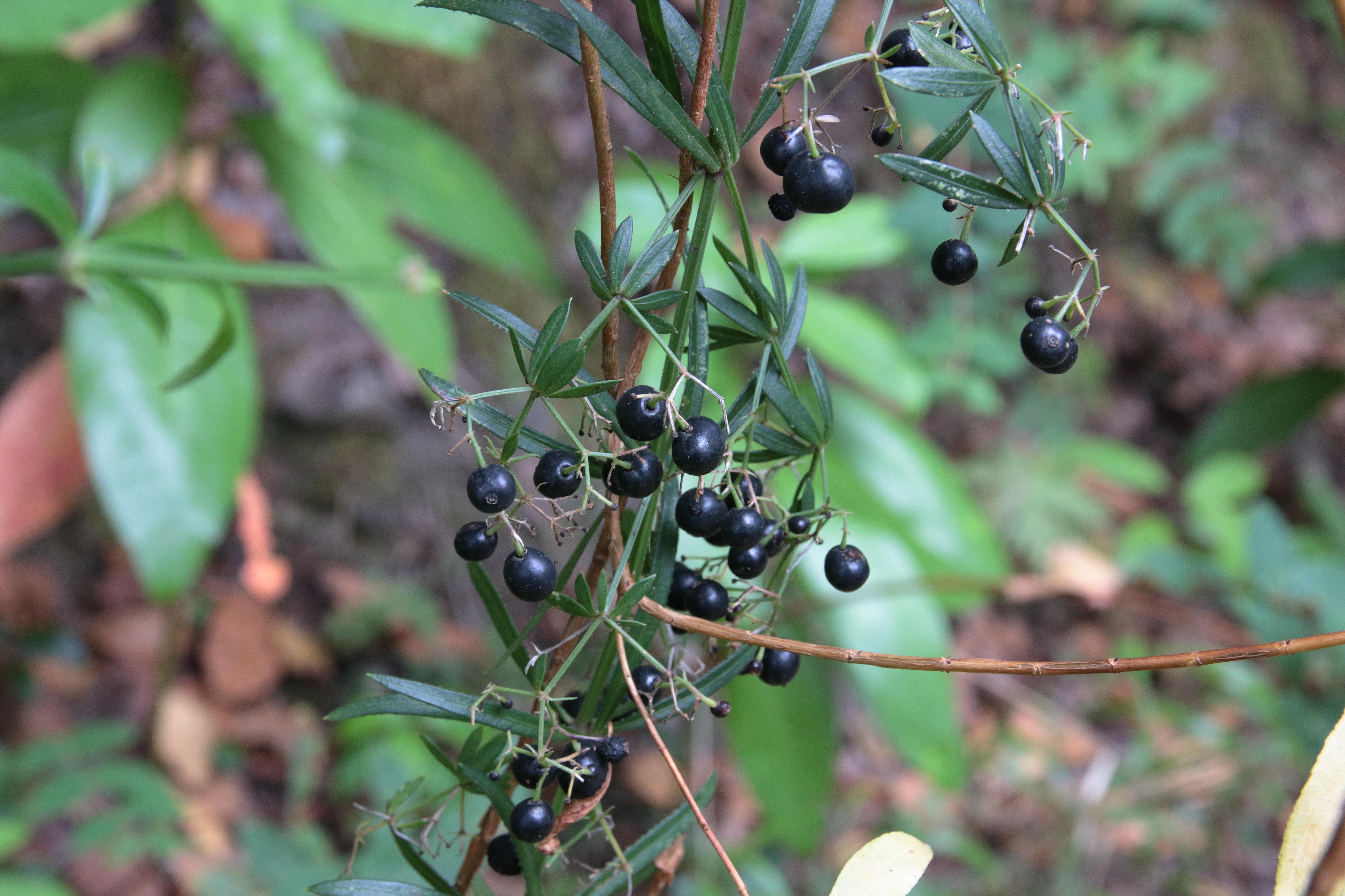 img_6895-rubia-peregrina-ssp-agostinhoi-frutos.jpg
