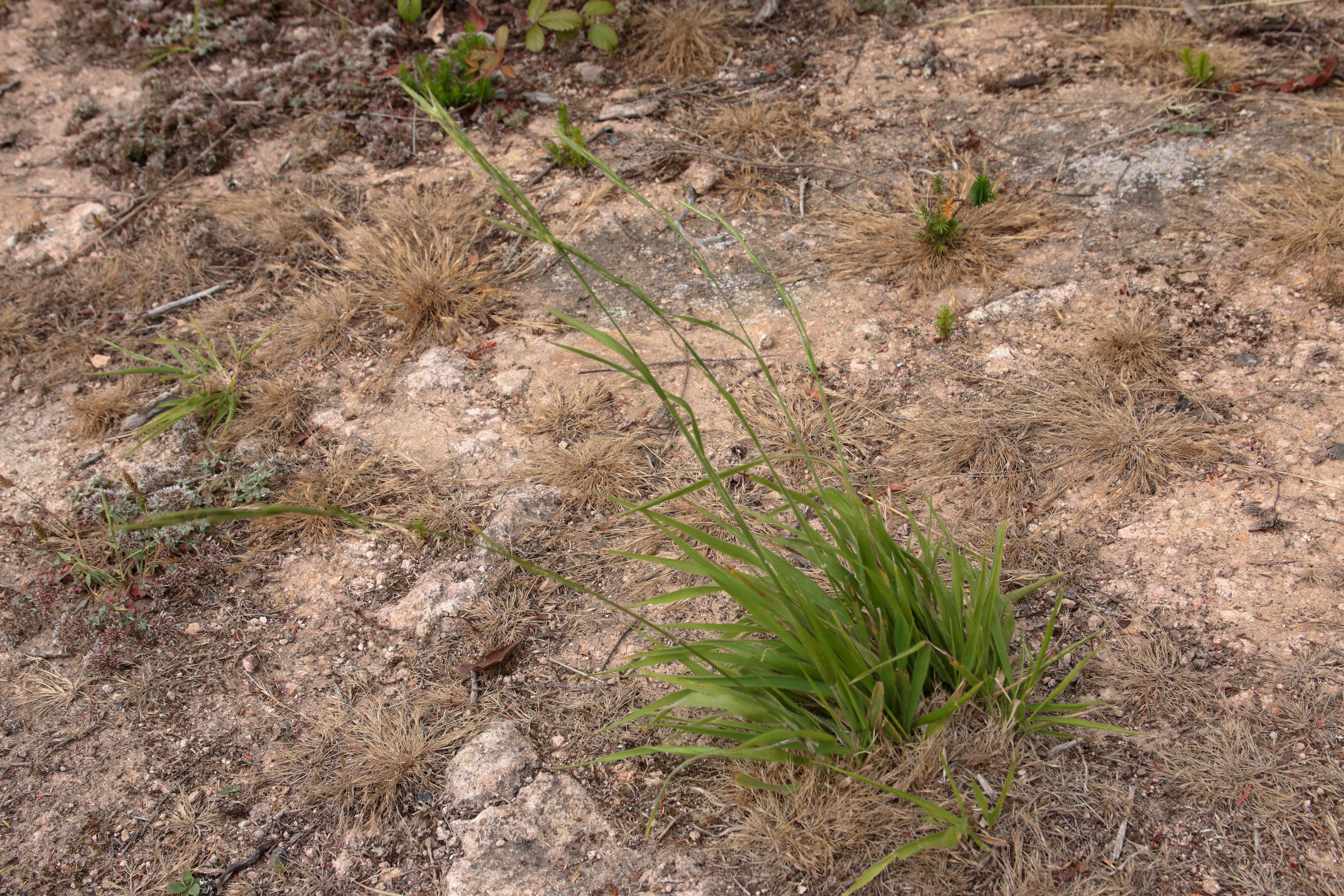 img_7000-brachypodium-sylvaticum-habitat.jpg