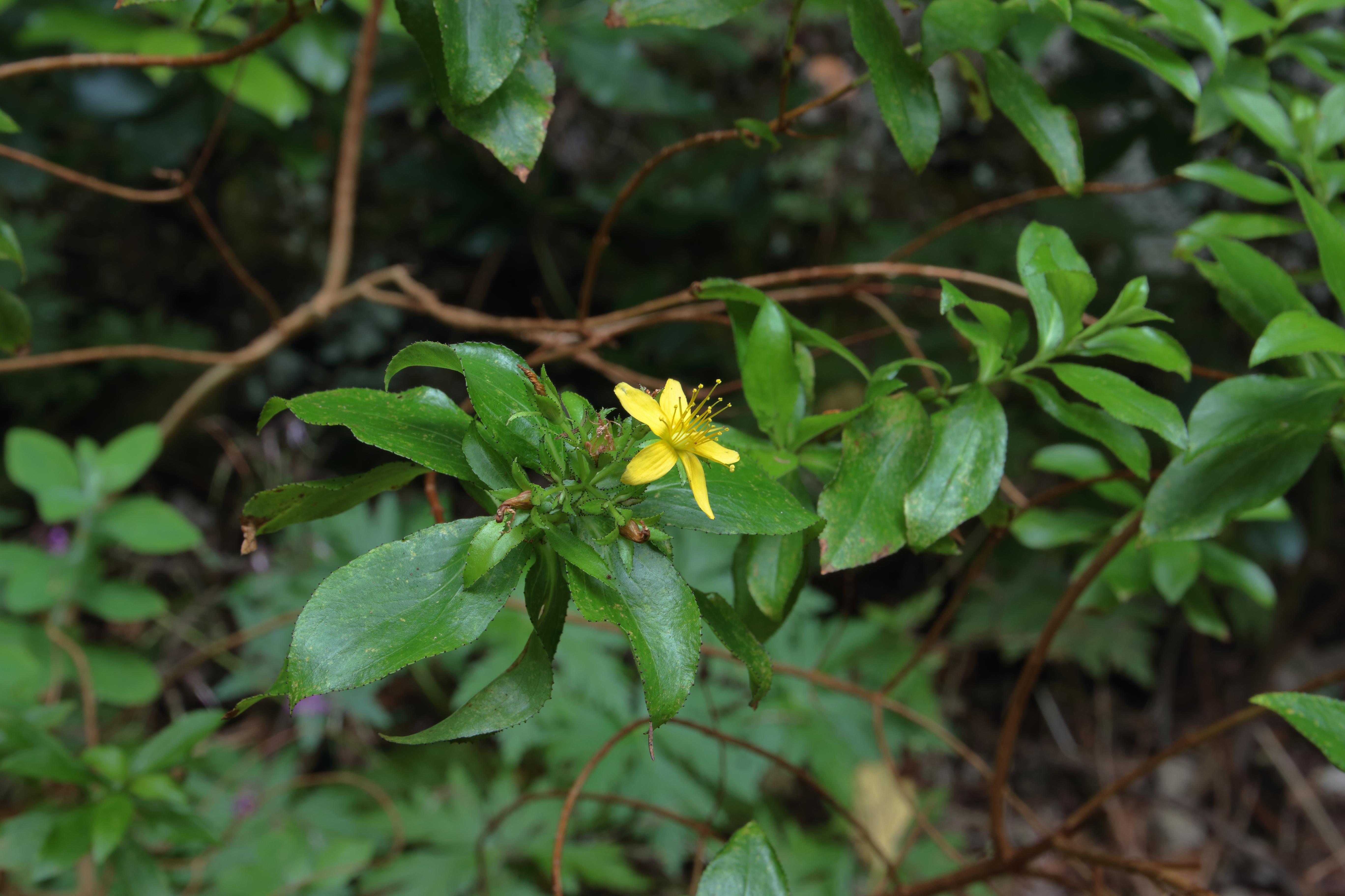 img_7020-hypericum-flor-a-10--mejor.jpg