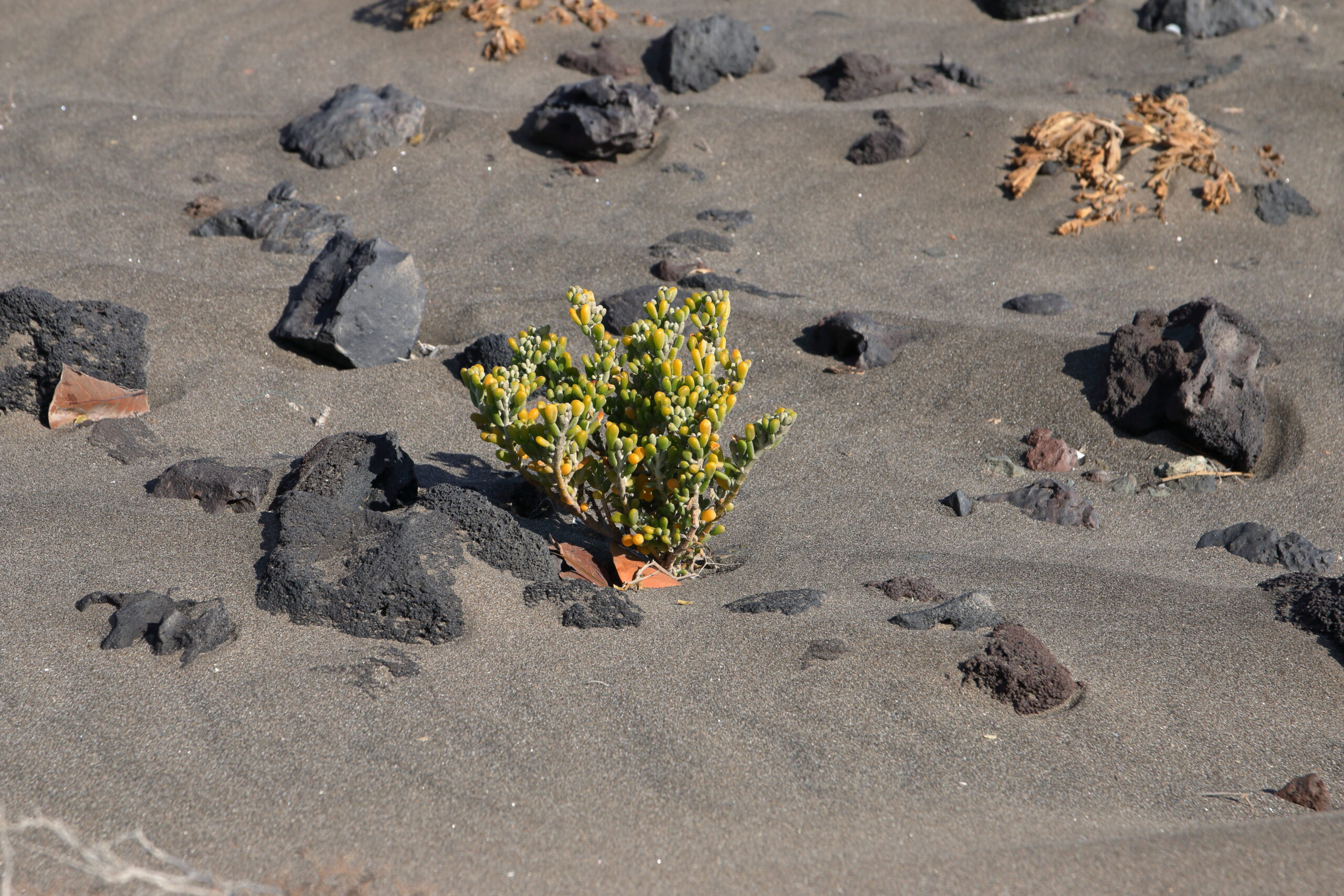 img_7045-habitat-uva-de-mar-comun-salado-moro-babosa-tetraena-fontanesii-2-scaled.jpg