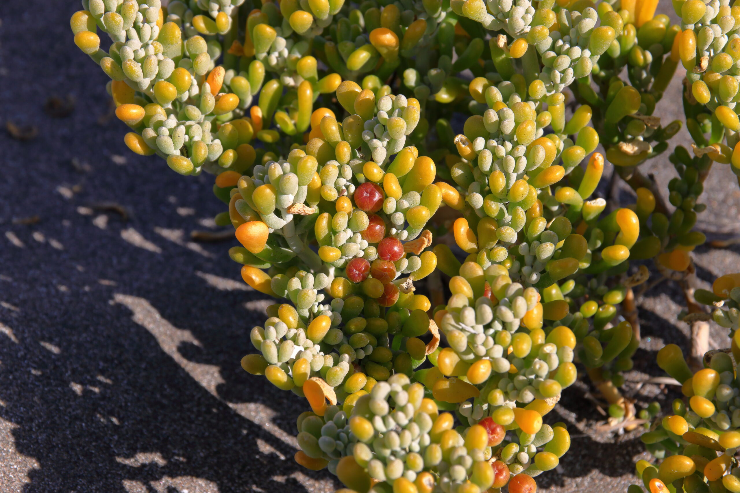 img_7047-hojas-uva-de-mar-comun-salado-moro-babosa-tetraena-fontanesii--scaled.jpg