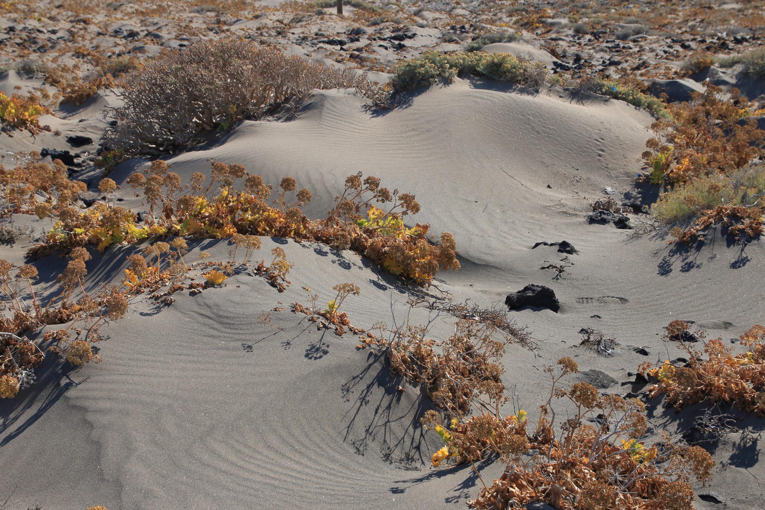 img_7060-plantas-halofilas-en-dunas-arena-tabaibas-dulces-lechugas-y-salados-2-scaled.jpg