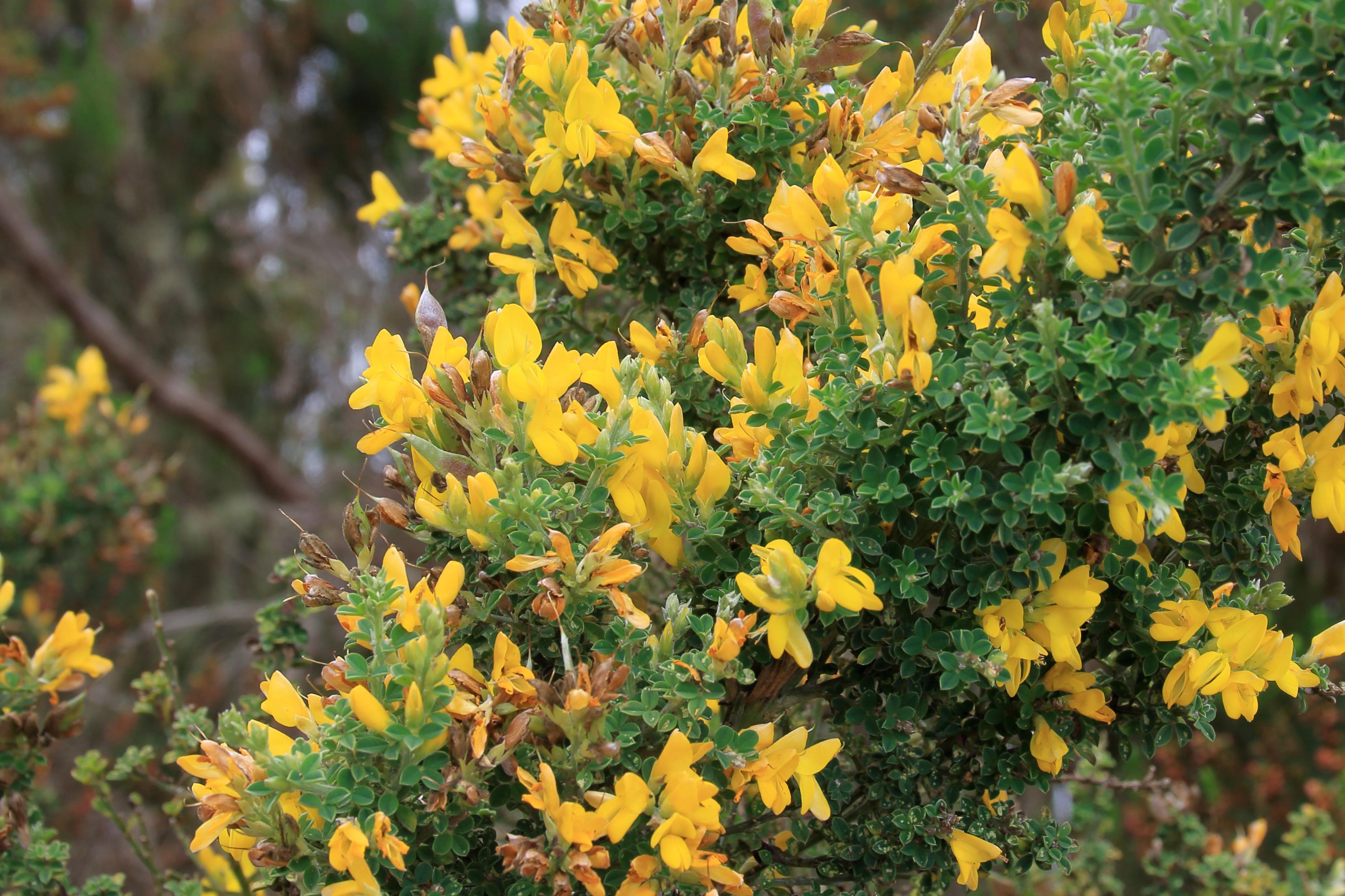 img_7088-teline-canariensis-flor-frutos.jpg
