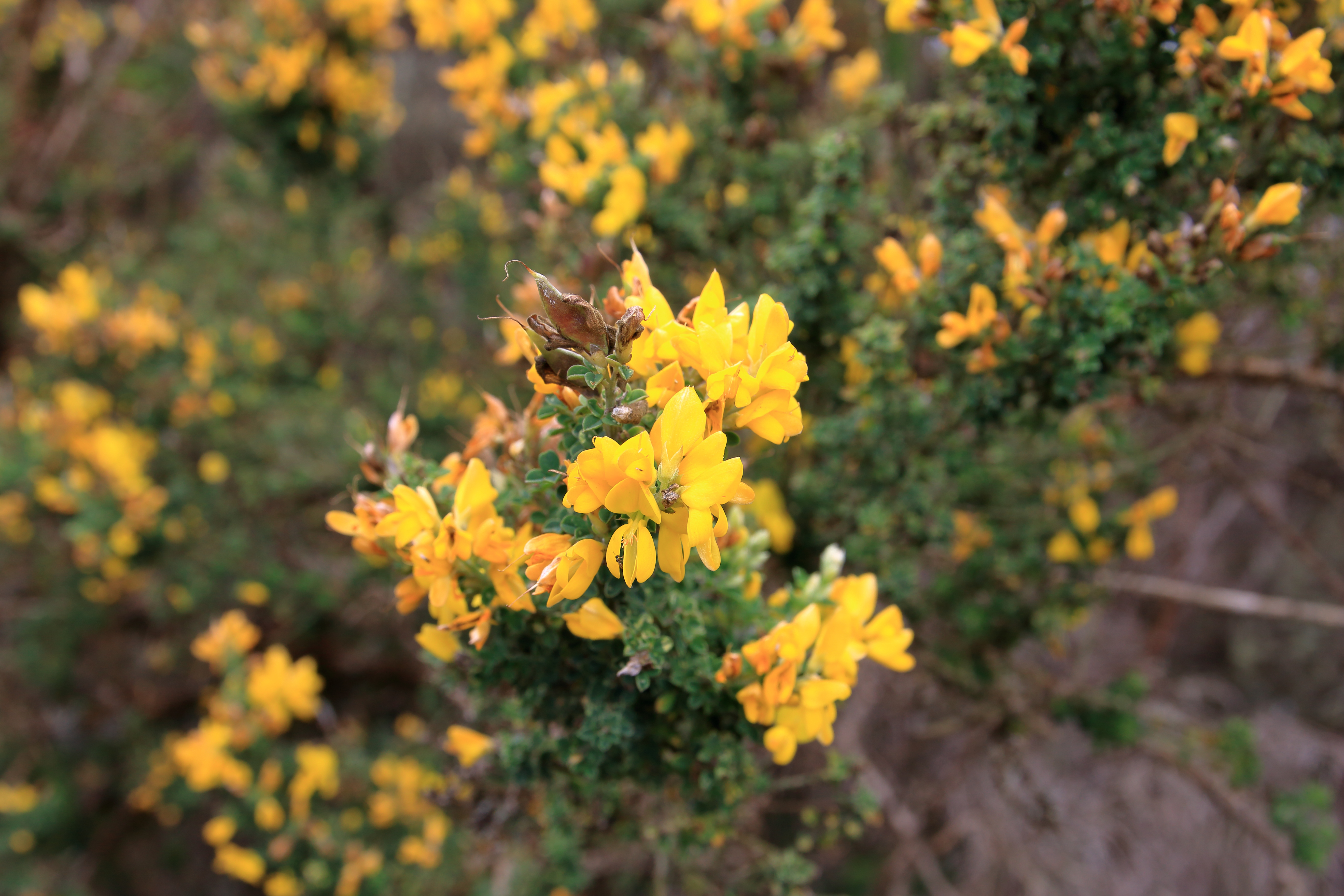 img_7090-teline-canariensis-flor-detalle.jpg