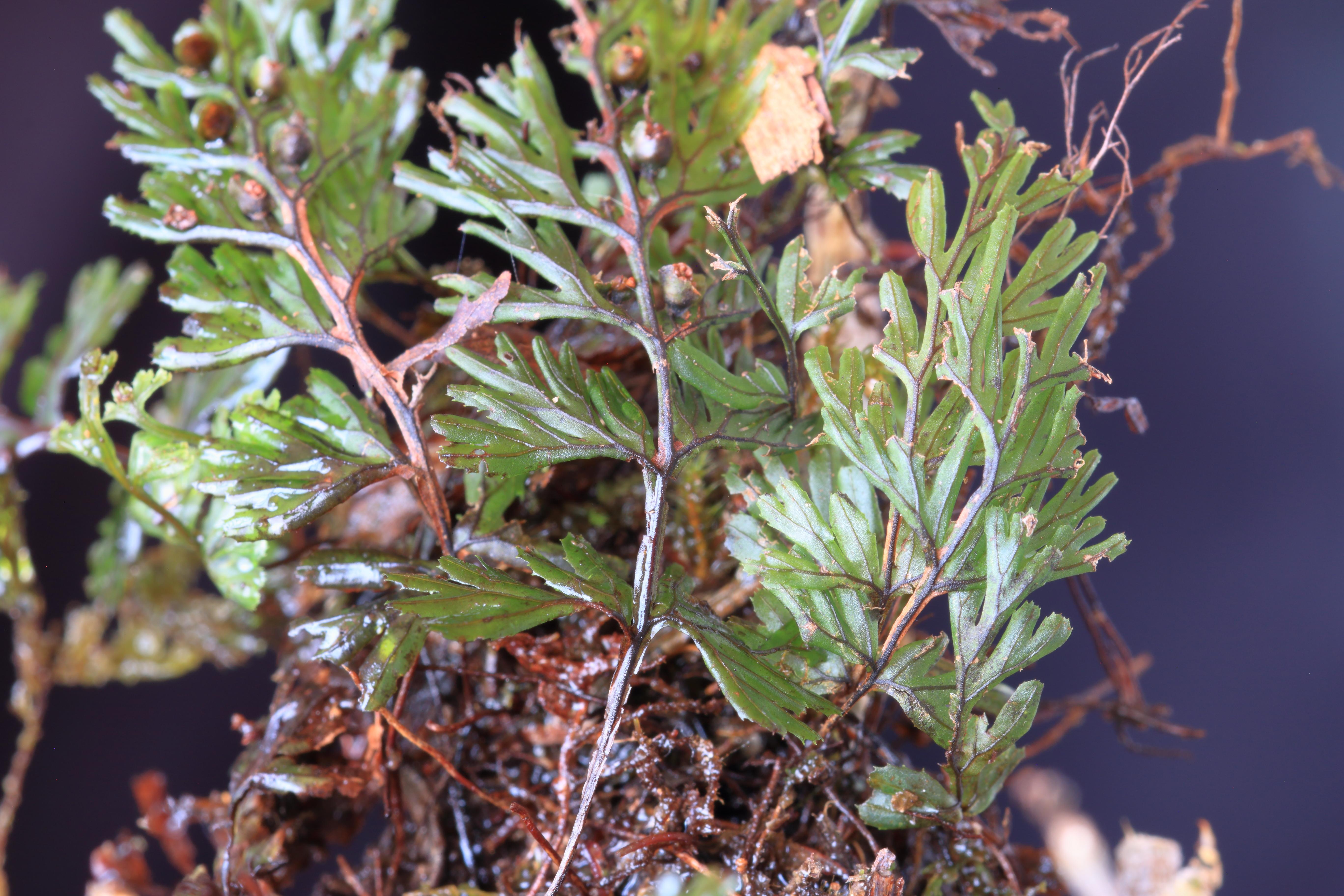 img_7100-hymenophyllum-tungrigense-a-10.jpg