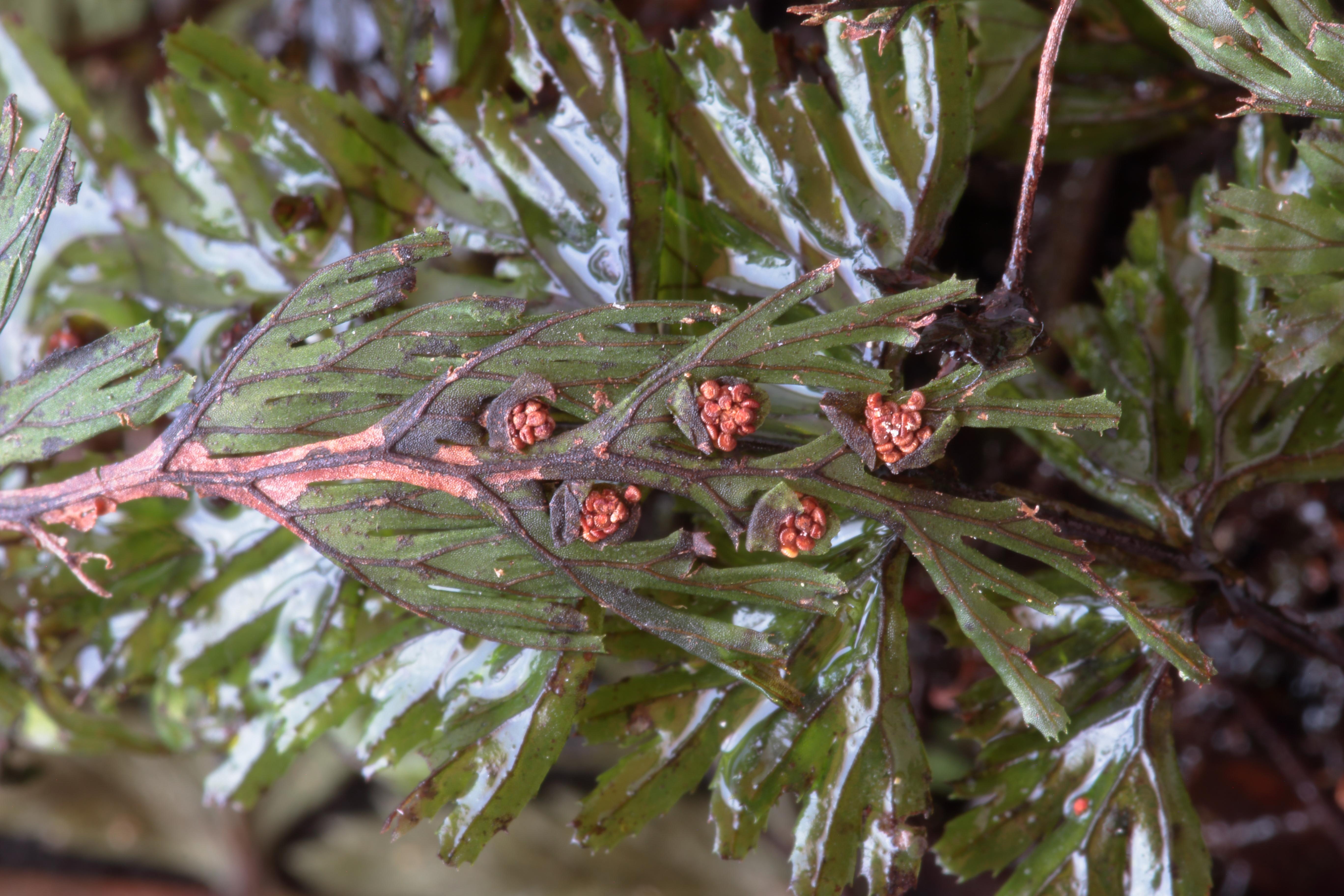 img_7112-hymenophyllum-tunbrigense-a-10.jpg