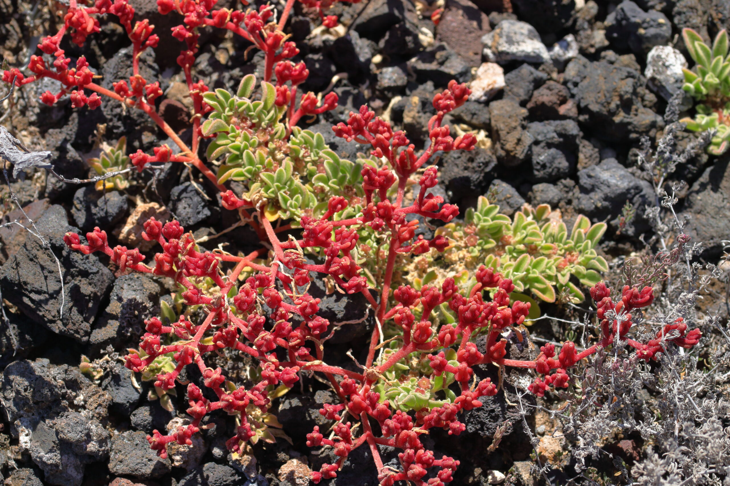 img_7206-habitat-cosco-barrilla-bastoncil-mesembryanthemum-nodiflorum--scaled.jpg