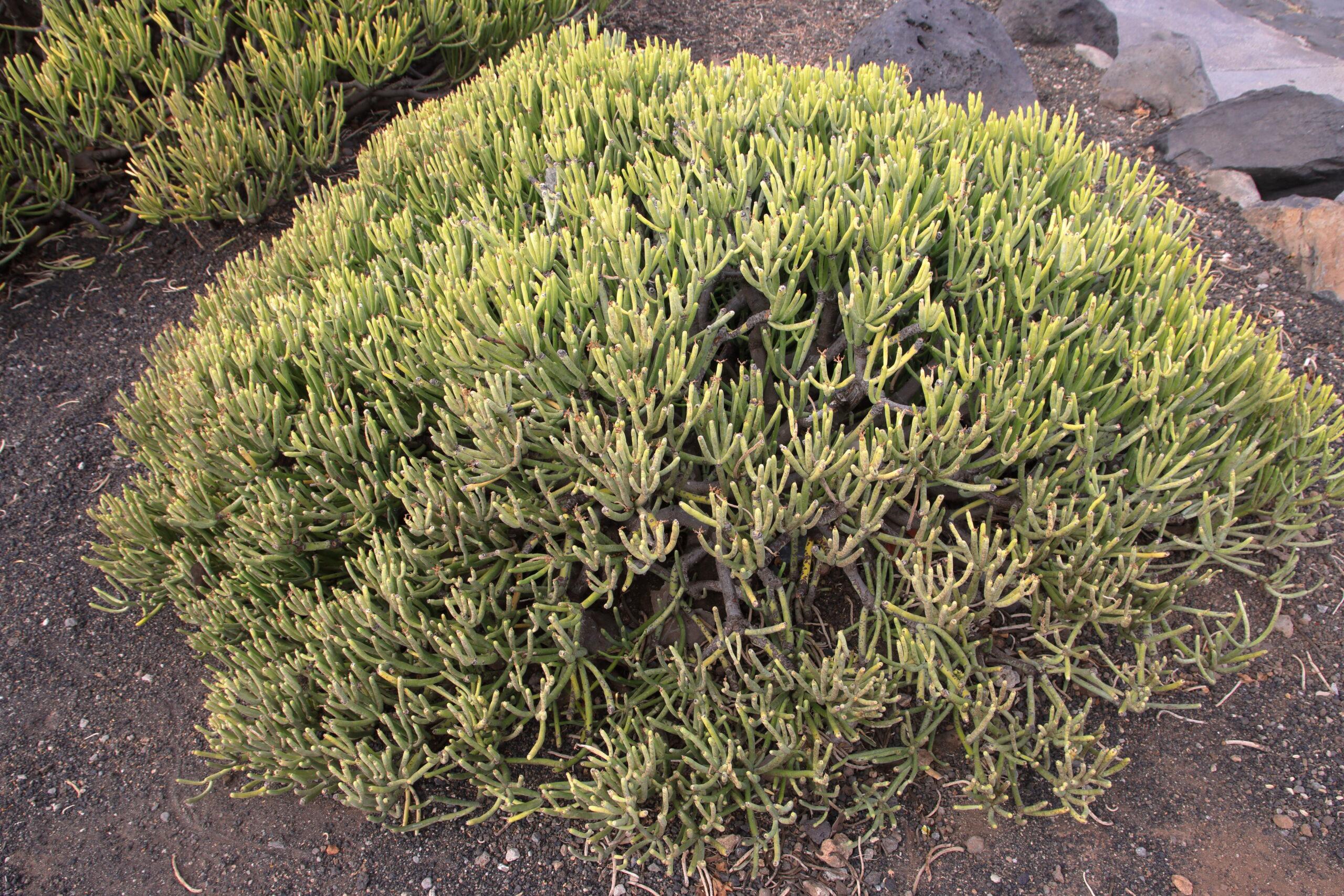 img_7225-general-tolda-tabaiba-salvaje-euphorbia-aphylla-scaled.jpg
