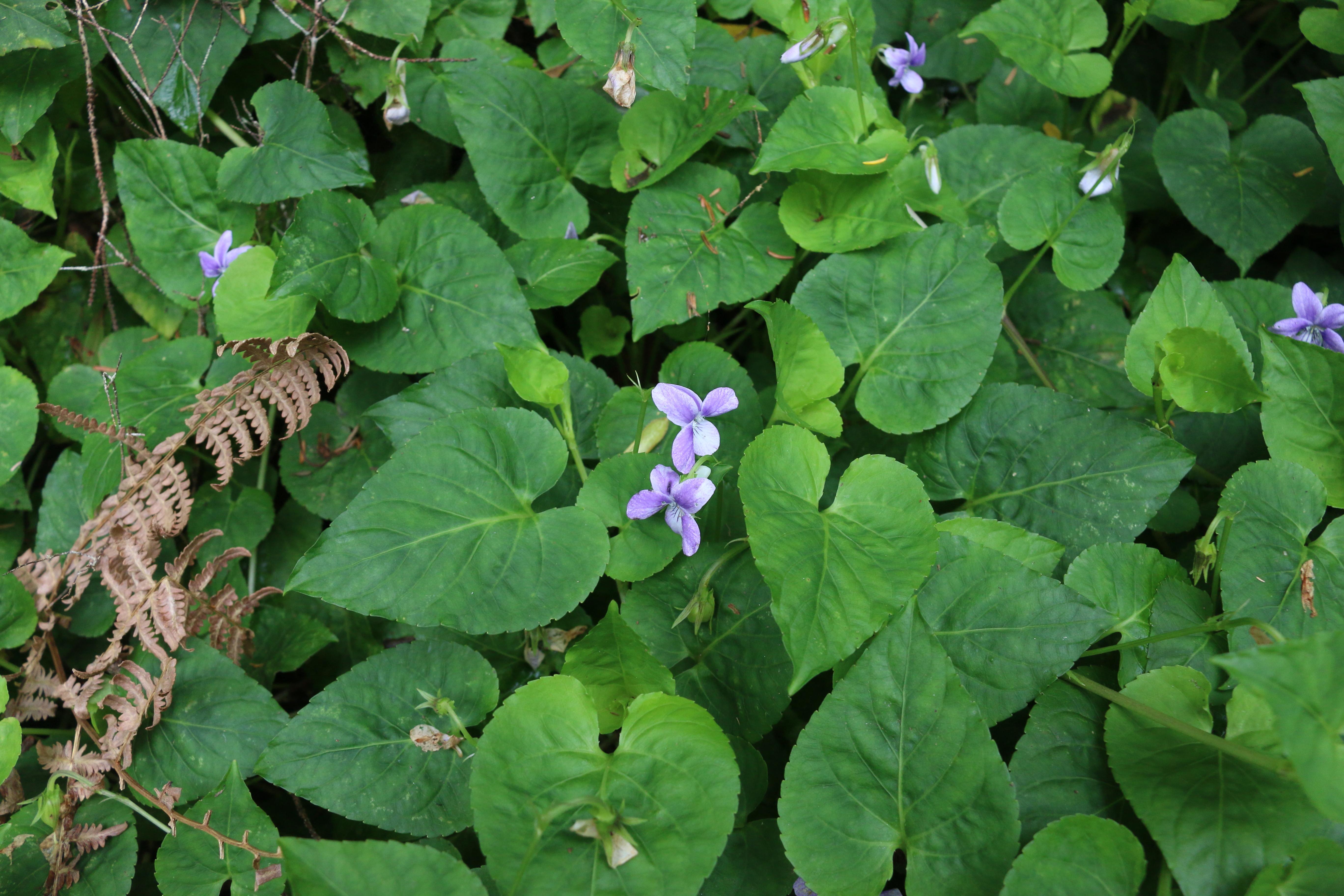 img_7550-viola-anagae-hojas.jpg
