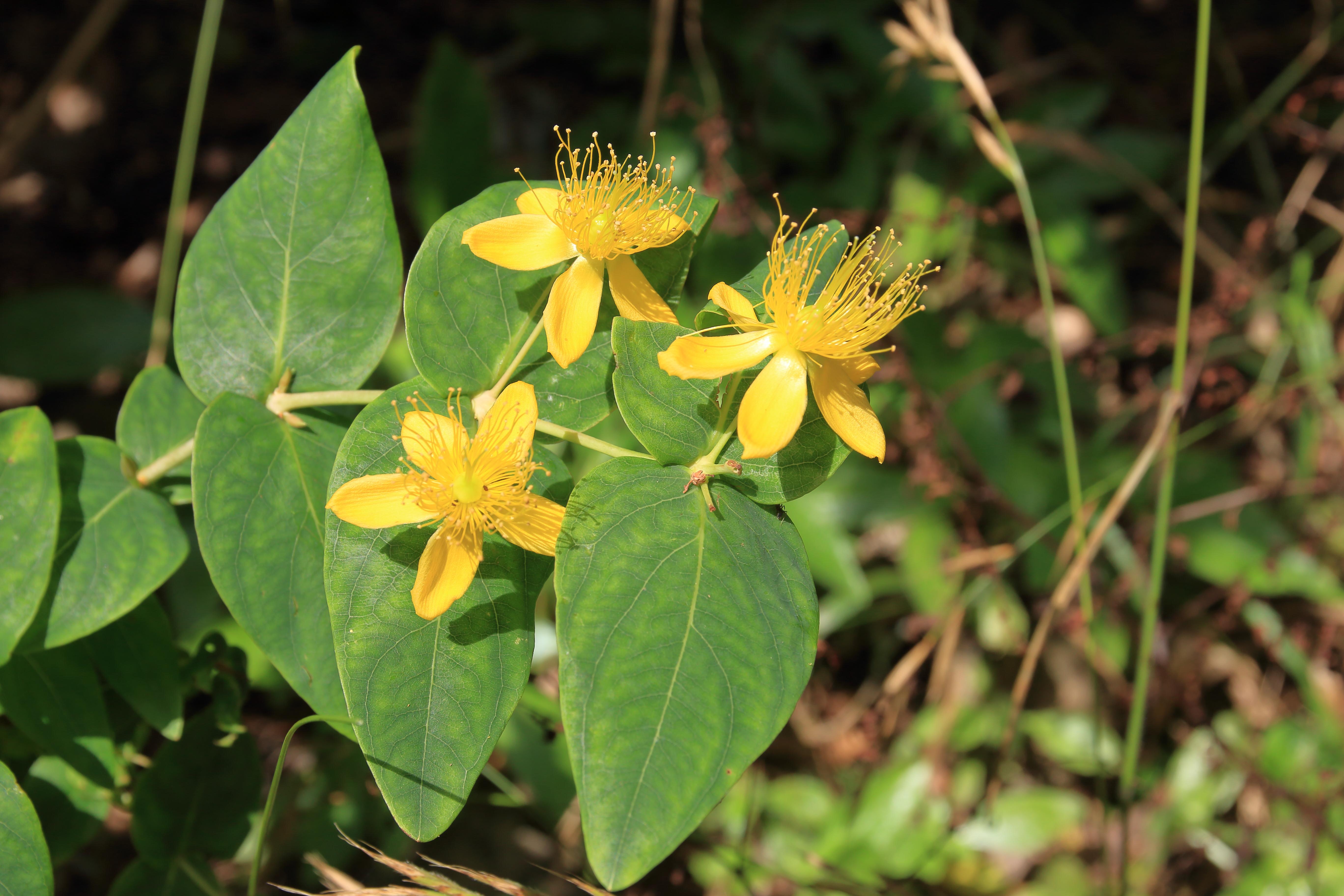 img_7852-hypericum-grandifolium--a-10.jpg