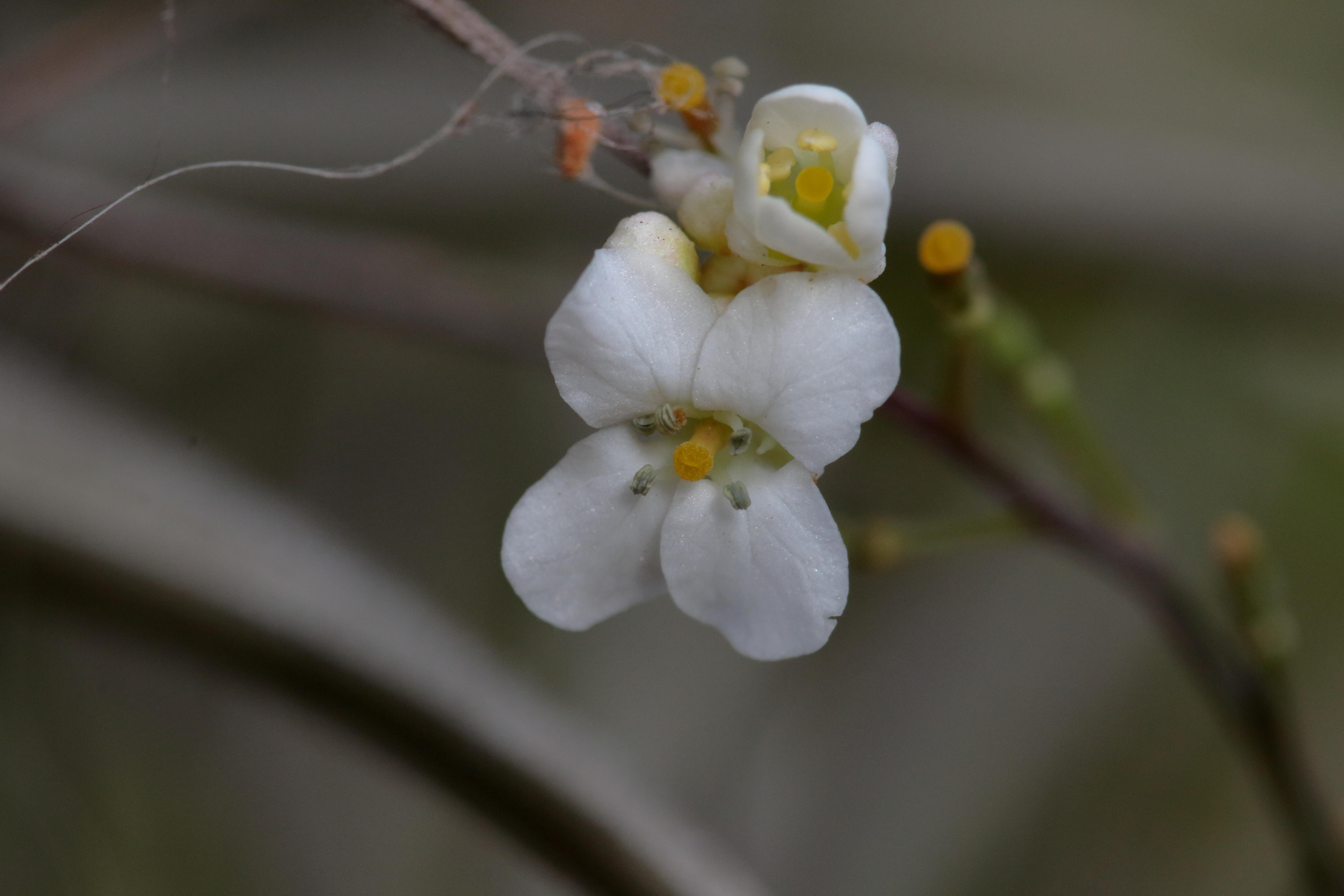 img_7911-crambe-strigosa-flor.jpg